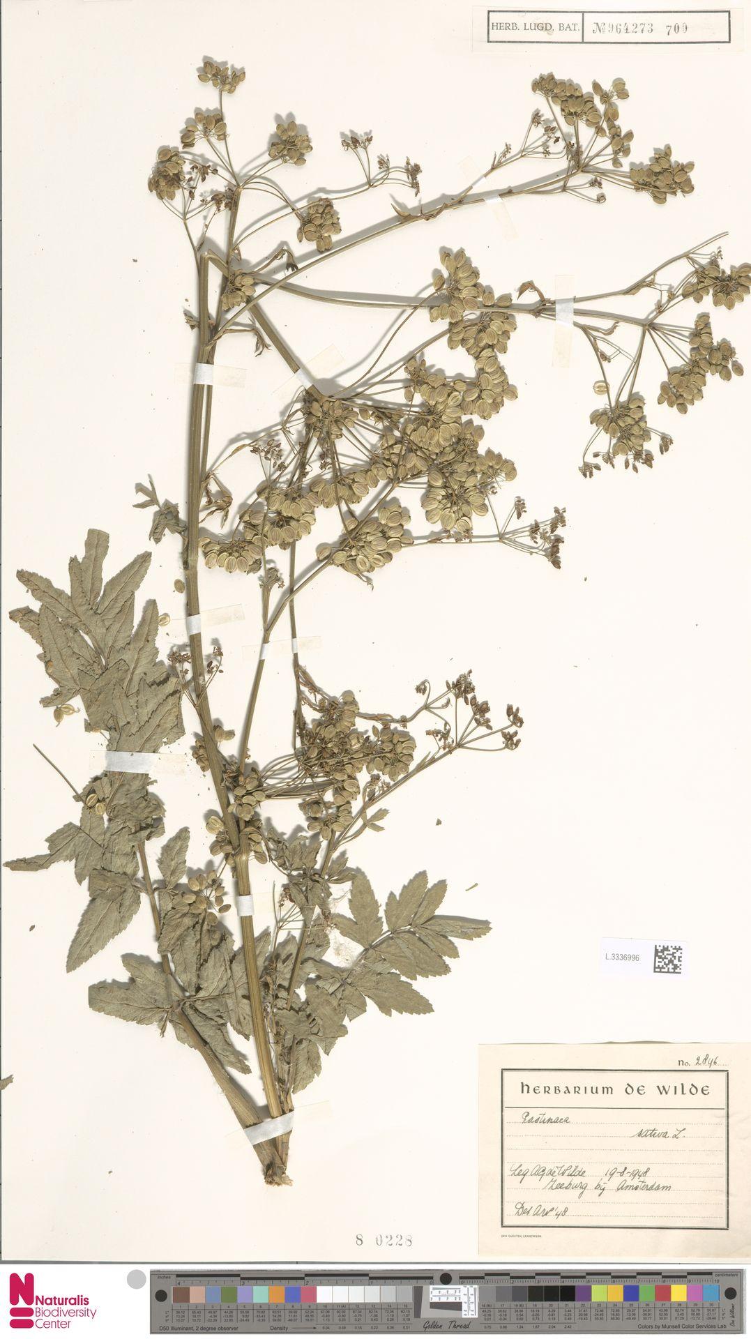 L.3336996 | Pastinaca sativa L.