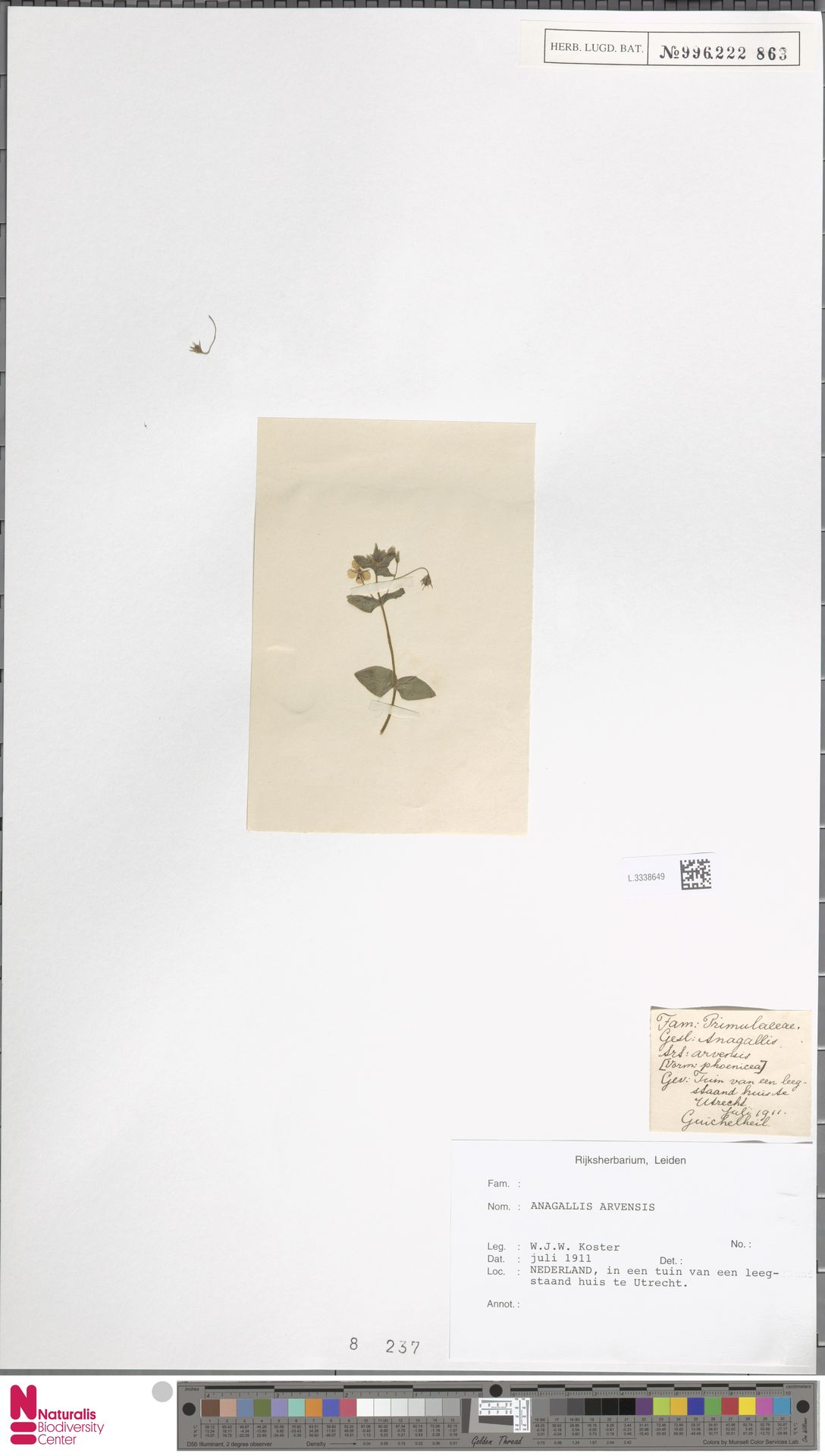L.3338649 | Anagallis arvensis L.