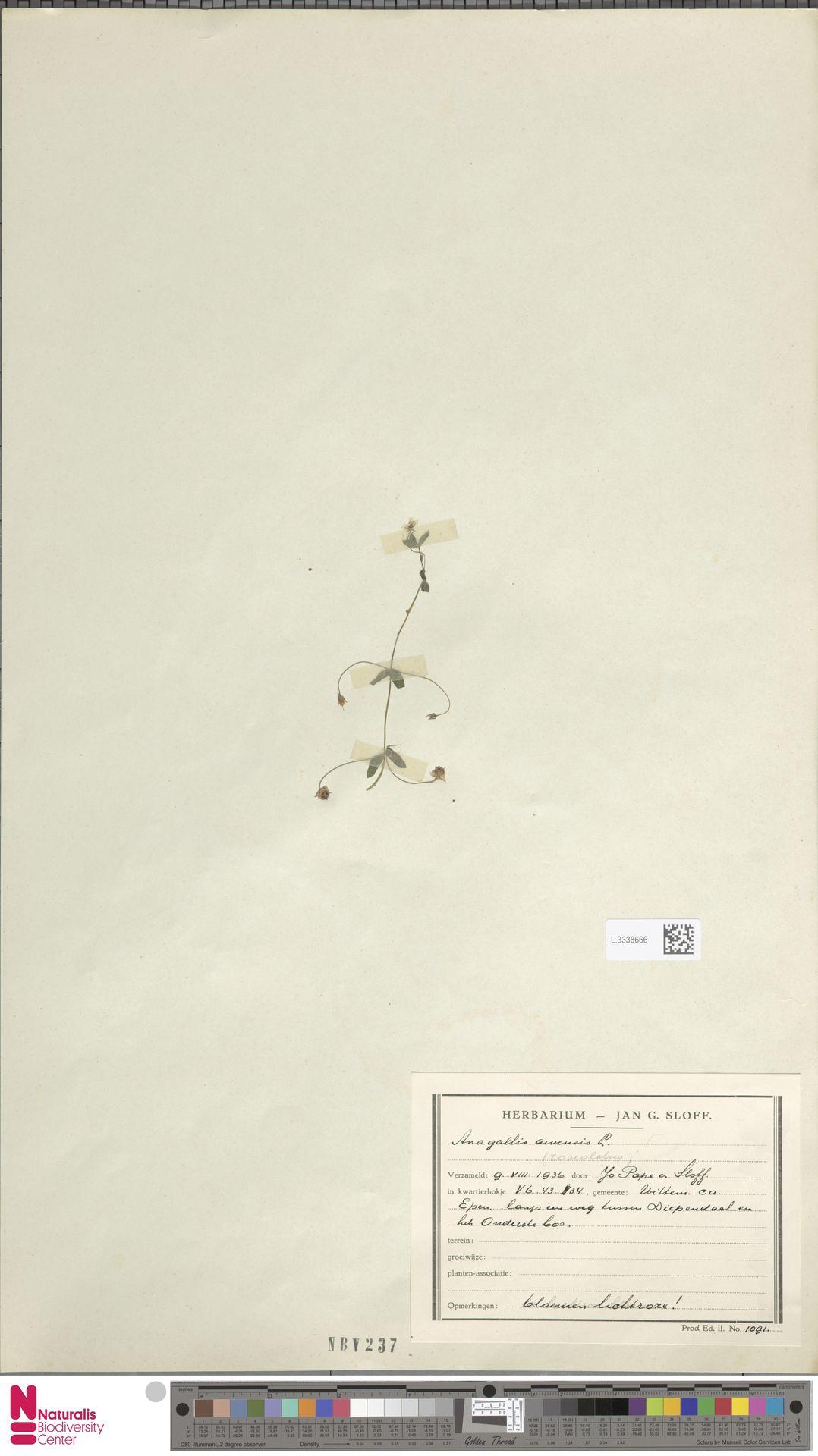 L.3338666 | Anagallis arvensis L.