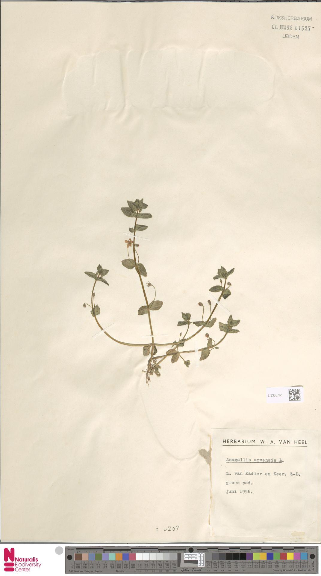 L.3338765 | Anagallis arvensis L.