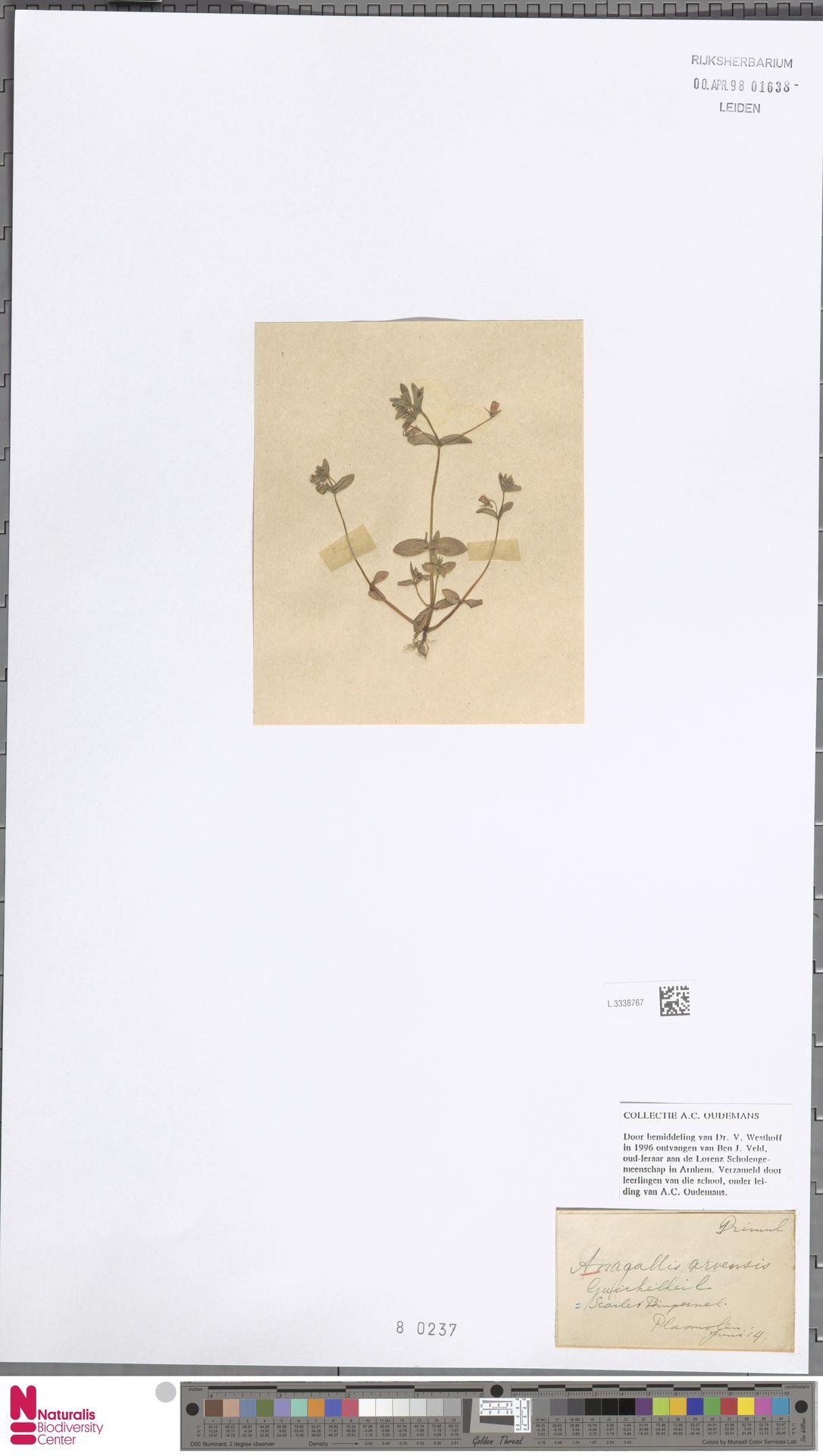 L.3338767   Anagallis arvensis L.