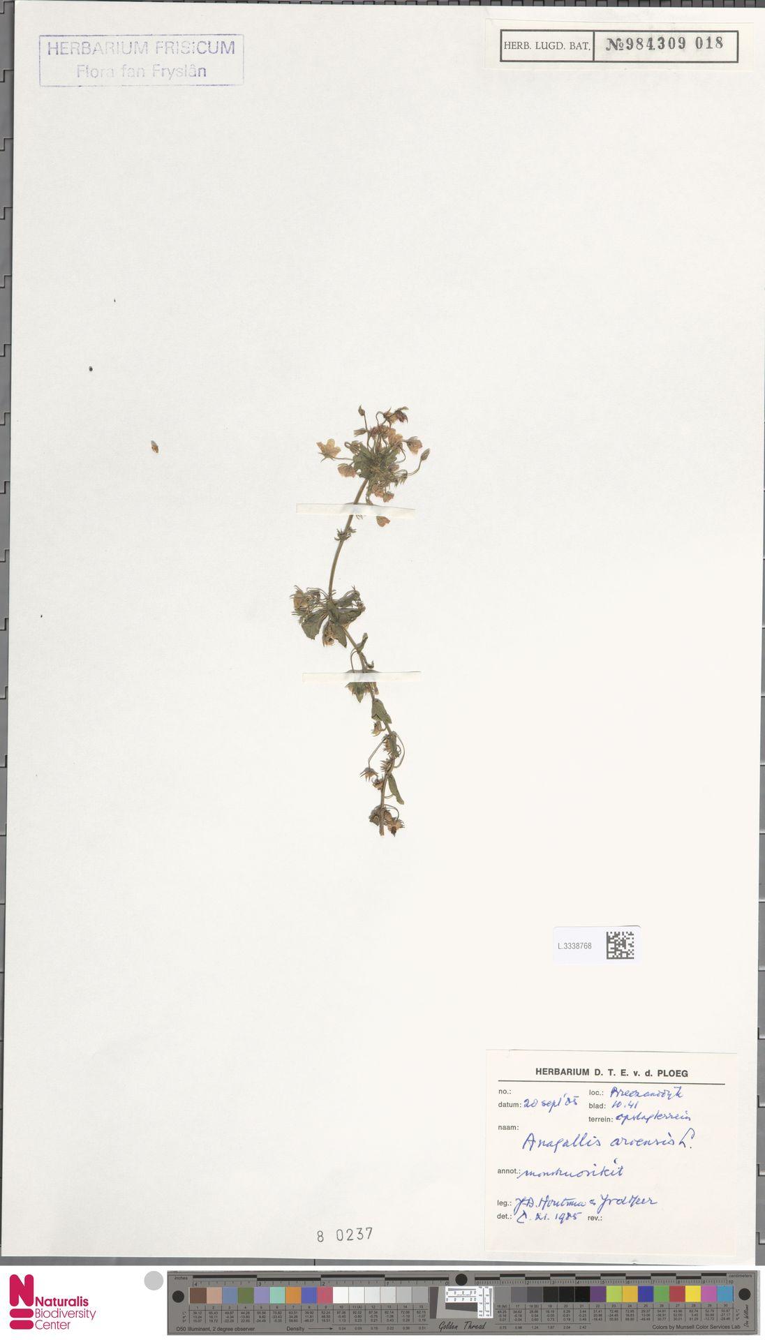 L.3338768 | Anagallis arvensis L.