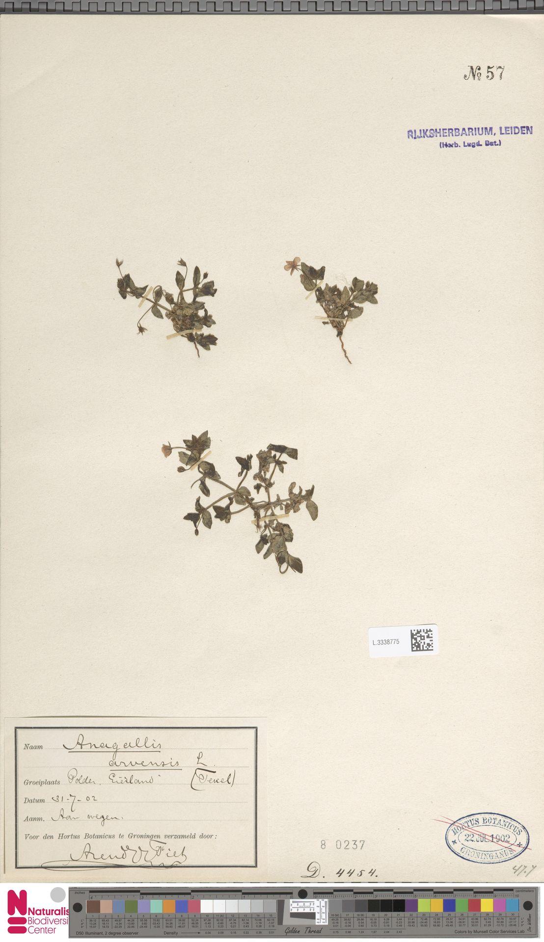 L.3338775 | Anagallis arvensis L.