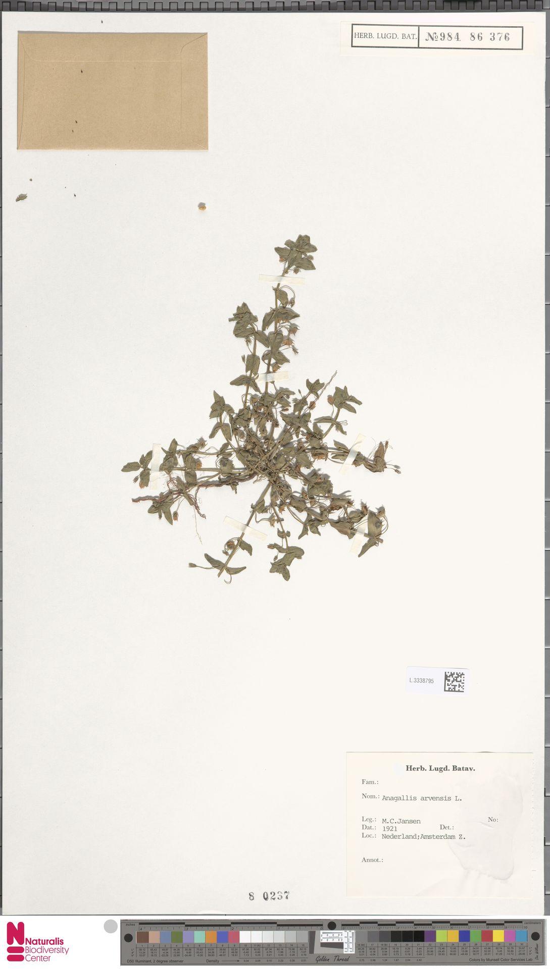L.3338795   Anagallis arvensis L.