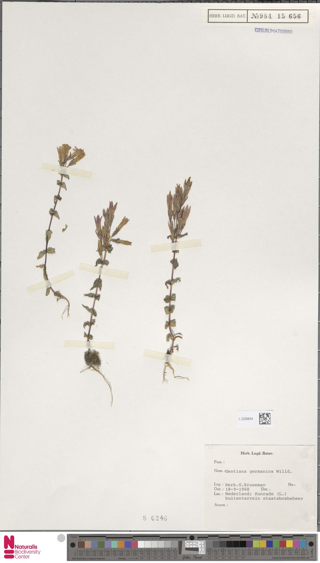 L.3339844 | Gentianella germanica (Willd.) E.F.Warb.