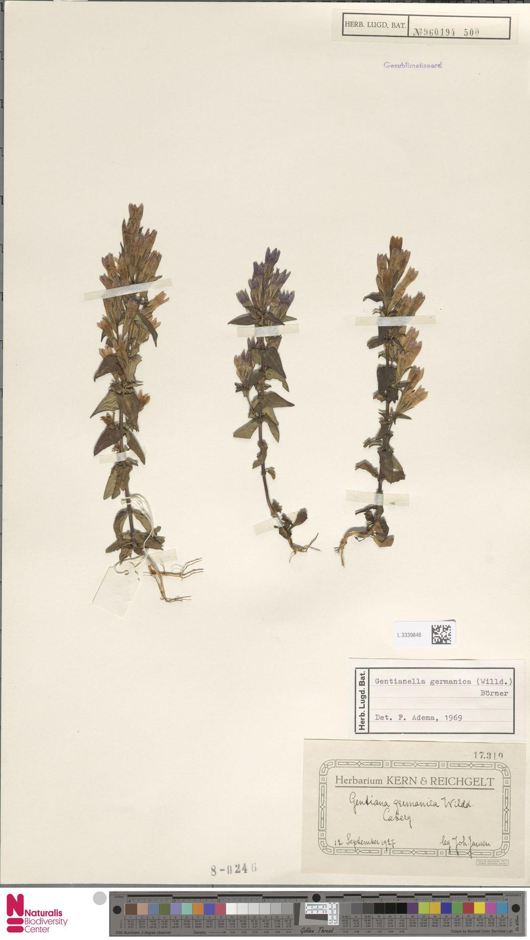 L.3339846 | Gentianella germanica (Willd.) E.F.Warb.