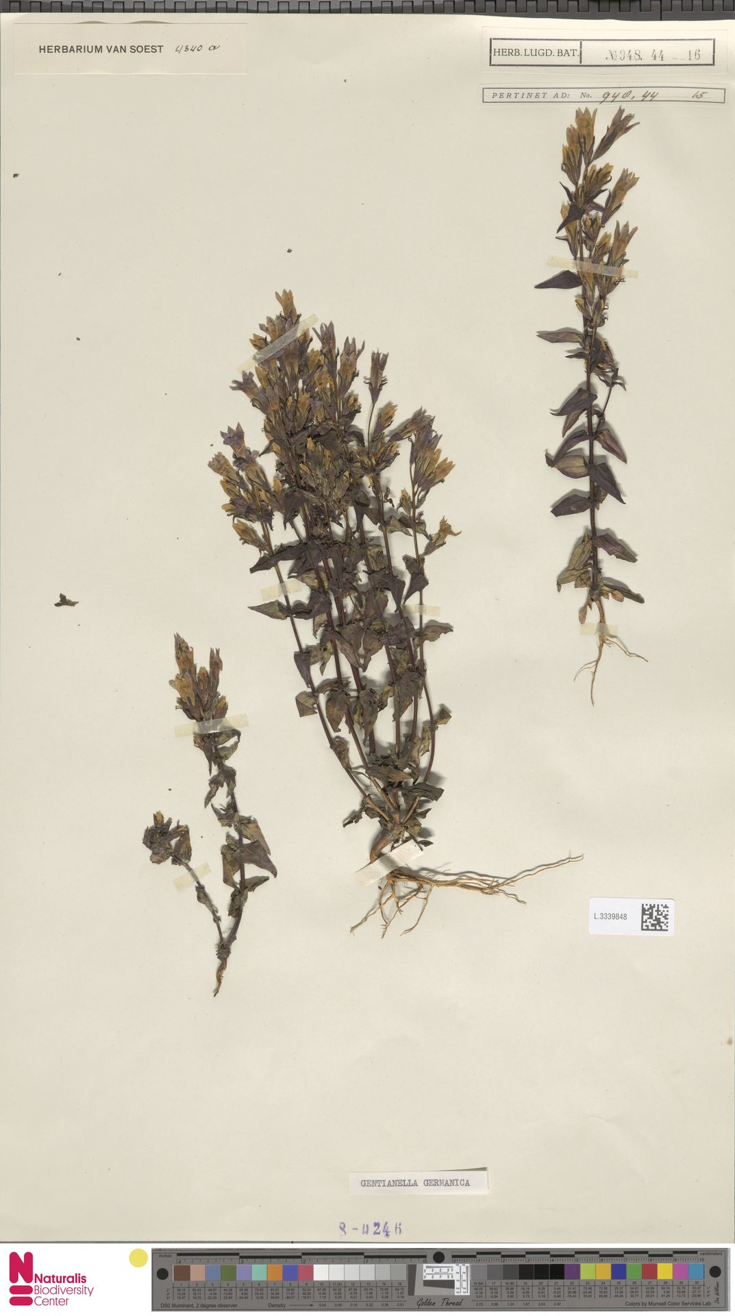 L.3339848 | Gentianella germanica (Willd.) E.F.Warb.