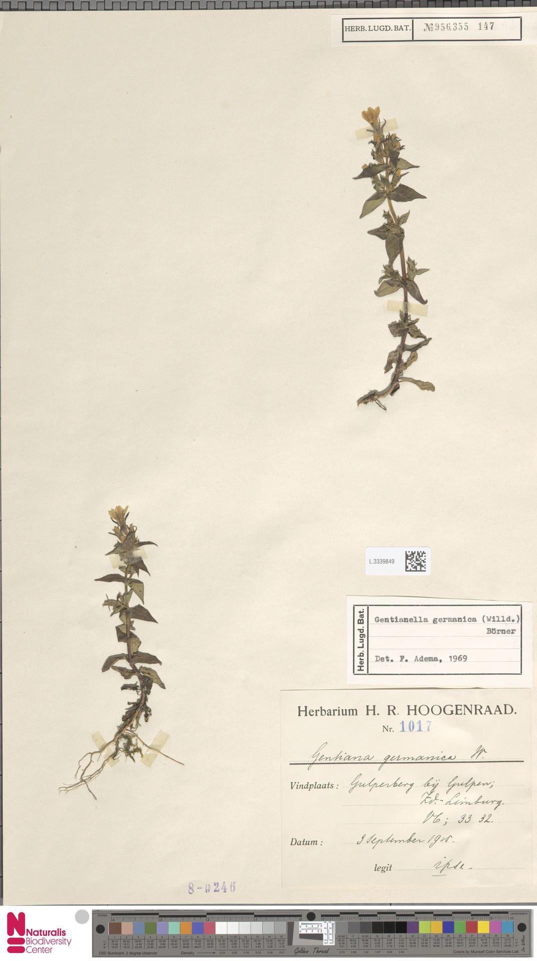 L.3339849   Gentianella germanica (Willd.) E.F.Warb.