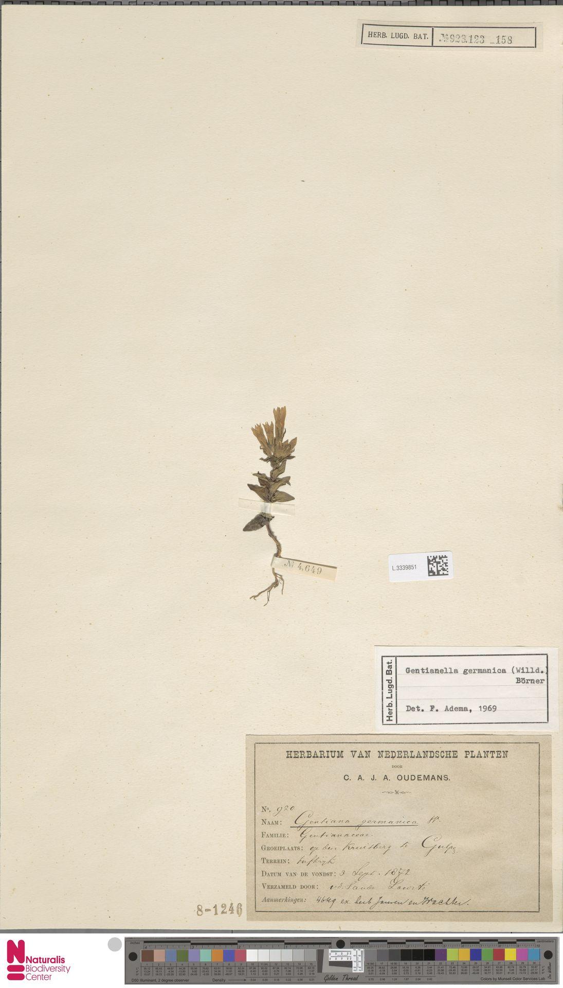 L.3339851 | Gentianella germanica (Willd.) E.F.Warb.
