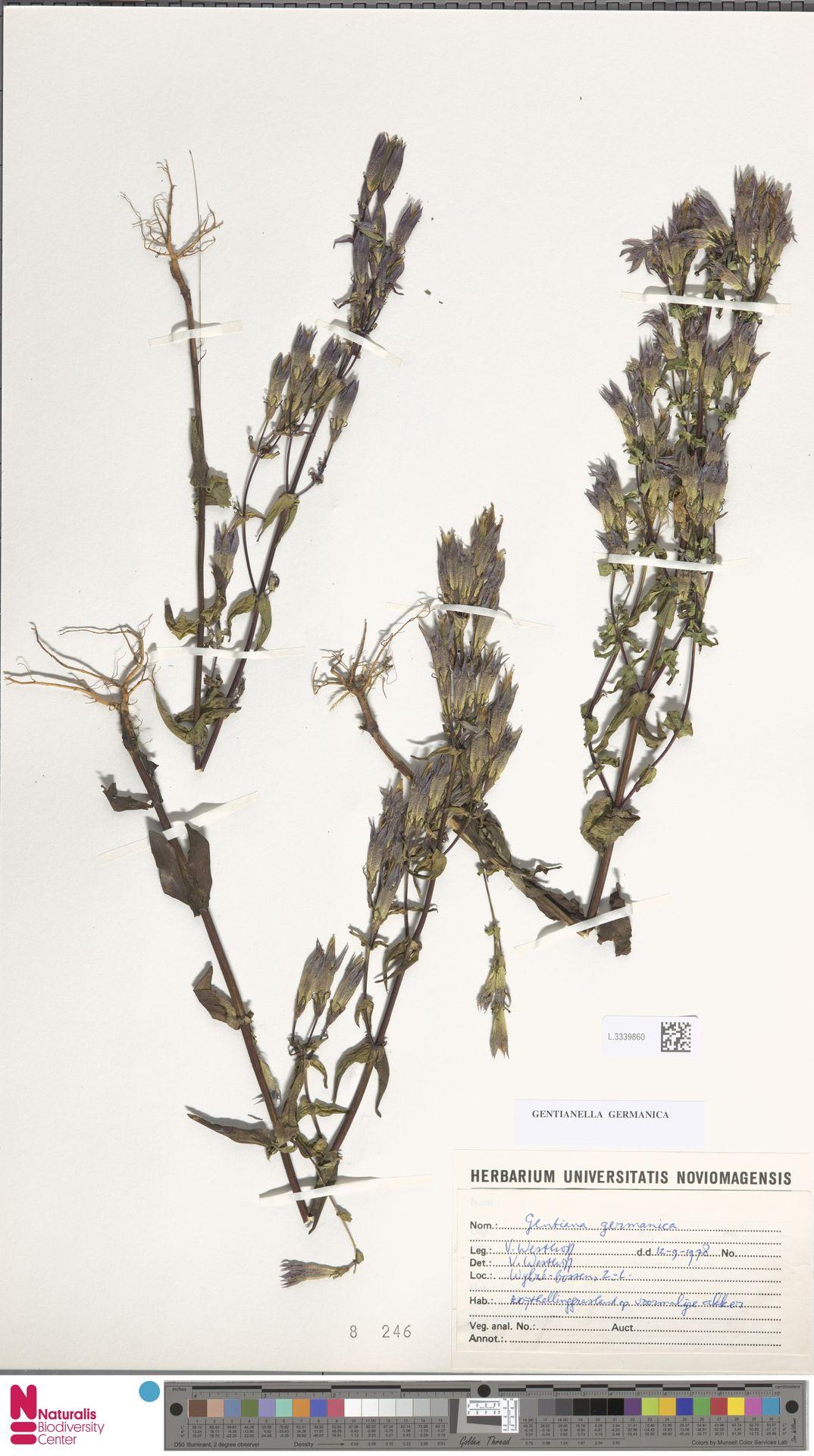 L.3339860 | Gentianella germanica (Willd.) E.F.Warb.