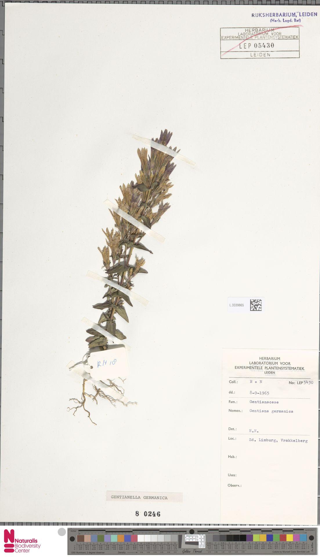 L.3339865 | Gentianella germanica (Willd.) E.F.Warb.