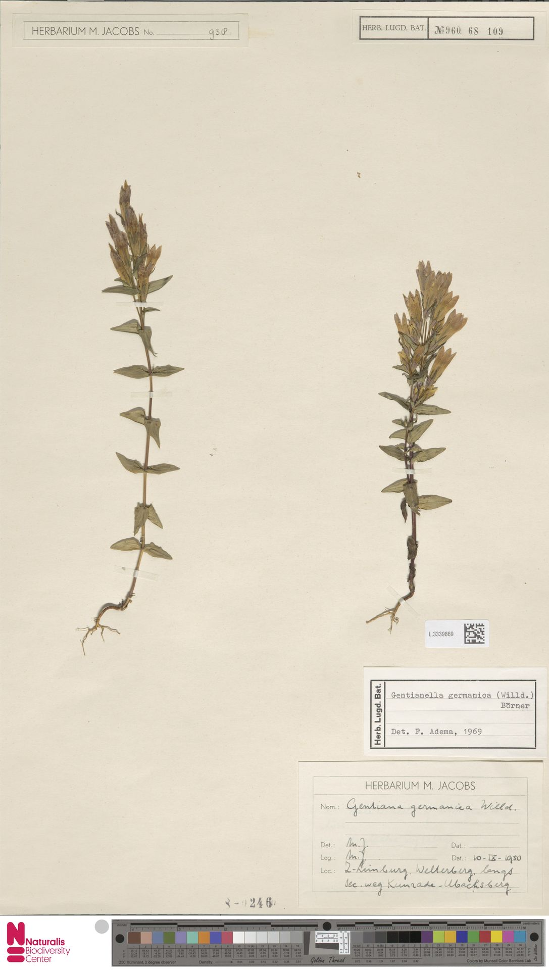 L.3339869 | Gentianella germanica (Willd.) E.F.Warb.