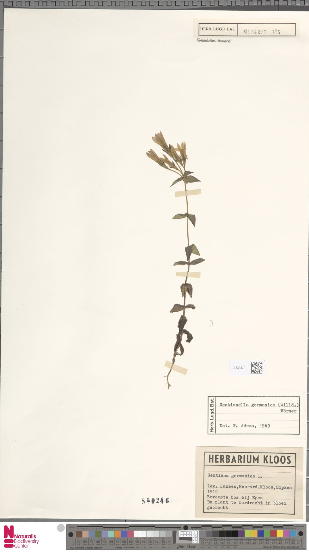 L.3339870 | Gentianella germanica (Willd.) E.F.Warb.