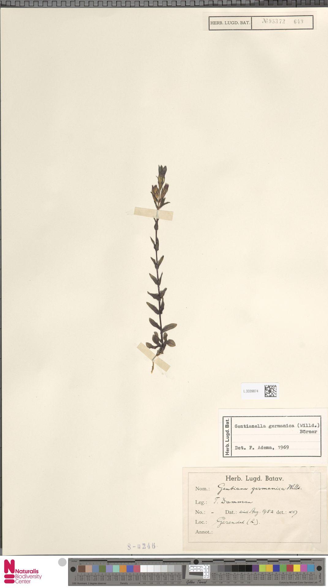 L.3339874 | Gentianella germanica (Willd.) E.F.Warb.