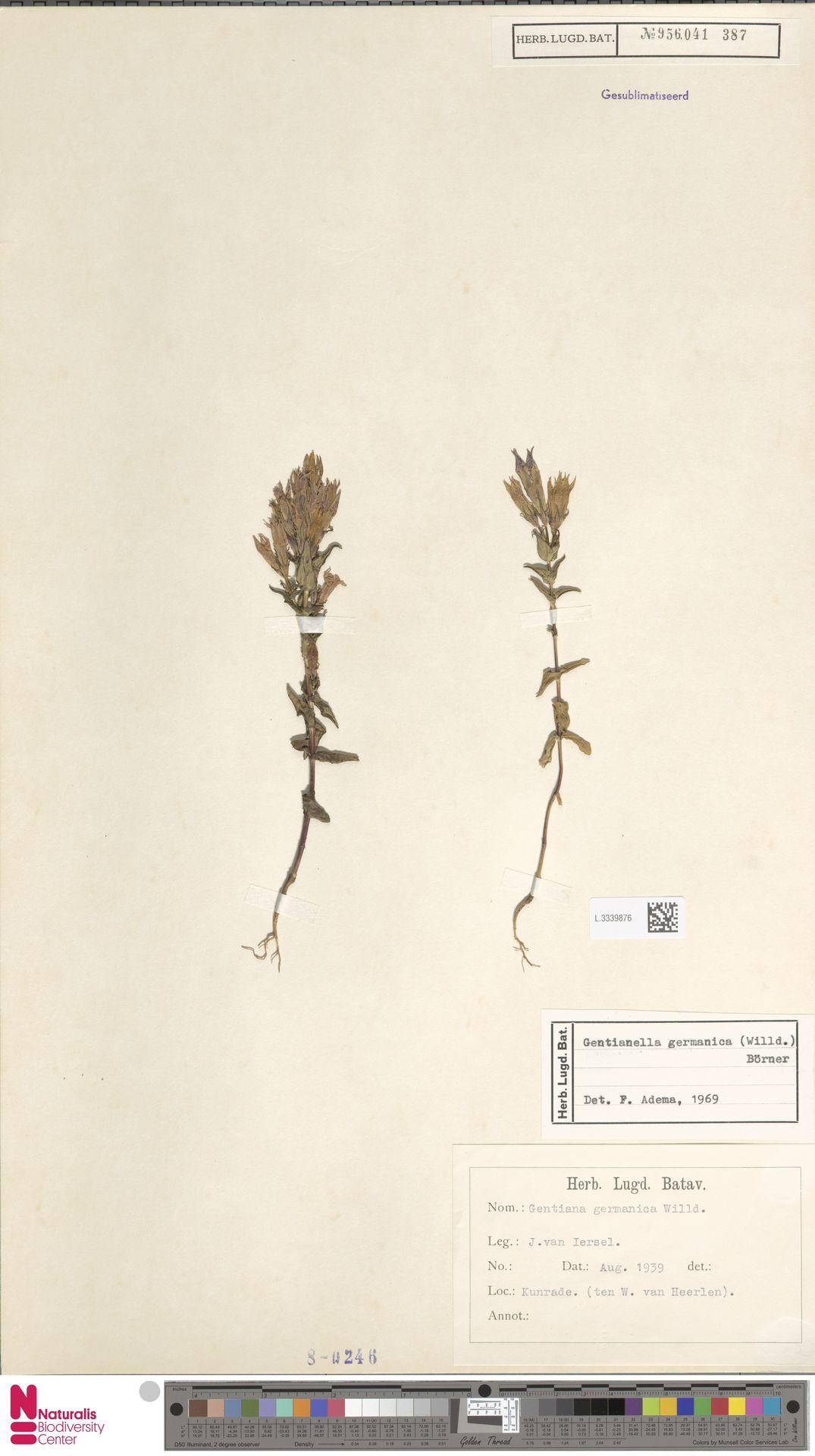 L.3339876 | Gentianella germanica (Willd.) E.F.Warb.