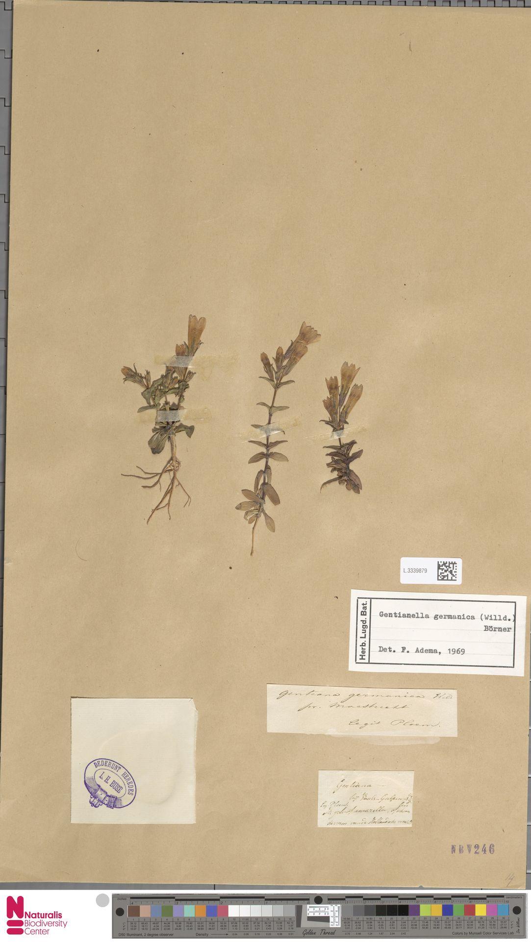 L.3339879 | Gentianella germanica (Willd.) E.F.Warb.