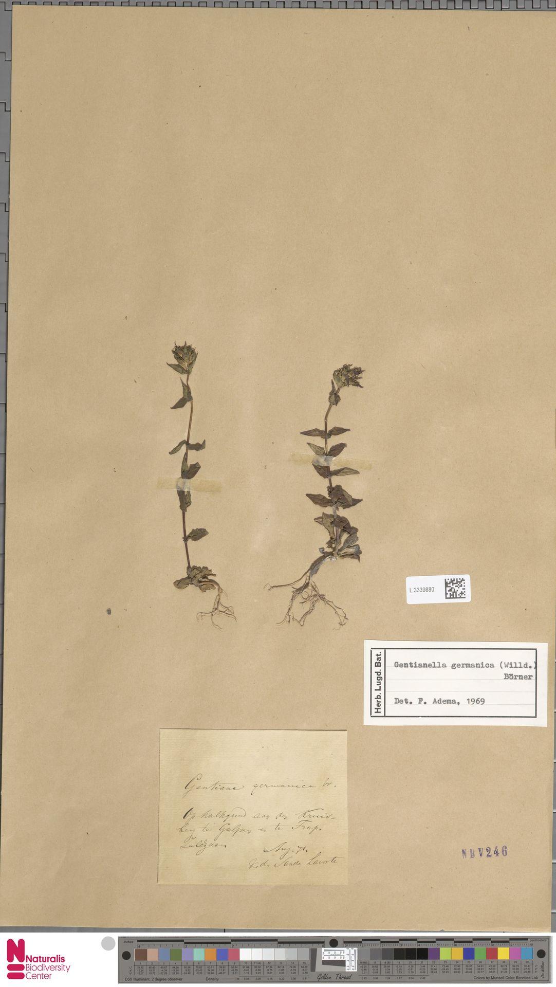 L.3339880 | Gentianella germanica (Willd.) E.F.Warb.