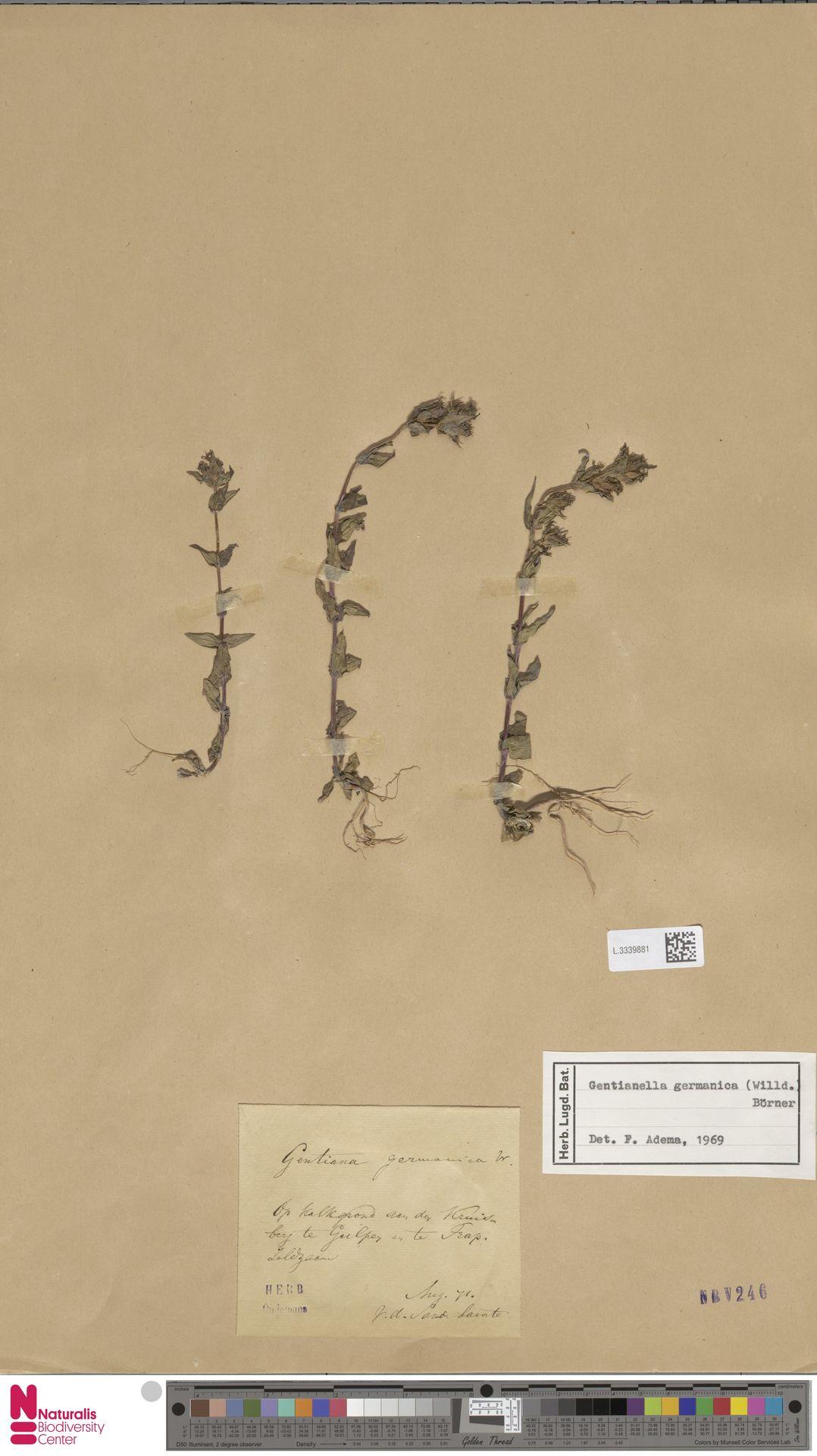 L.3339881 | Gentianella germanica (Willd.) E.F.Warb.