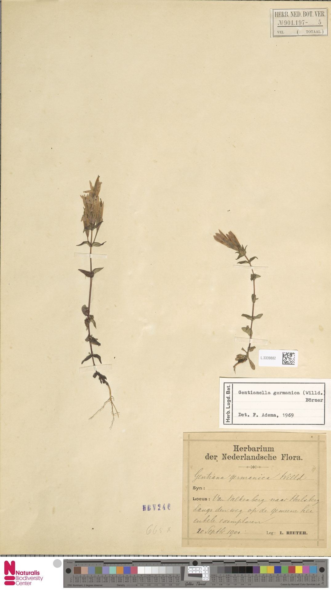 L.3339882 | Gentianella germanica (Willd.) E.F.Warb.