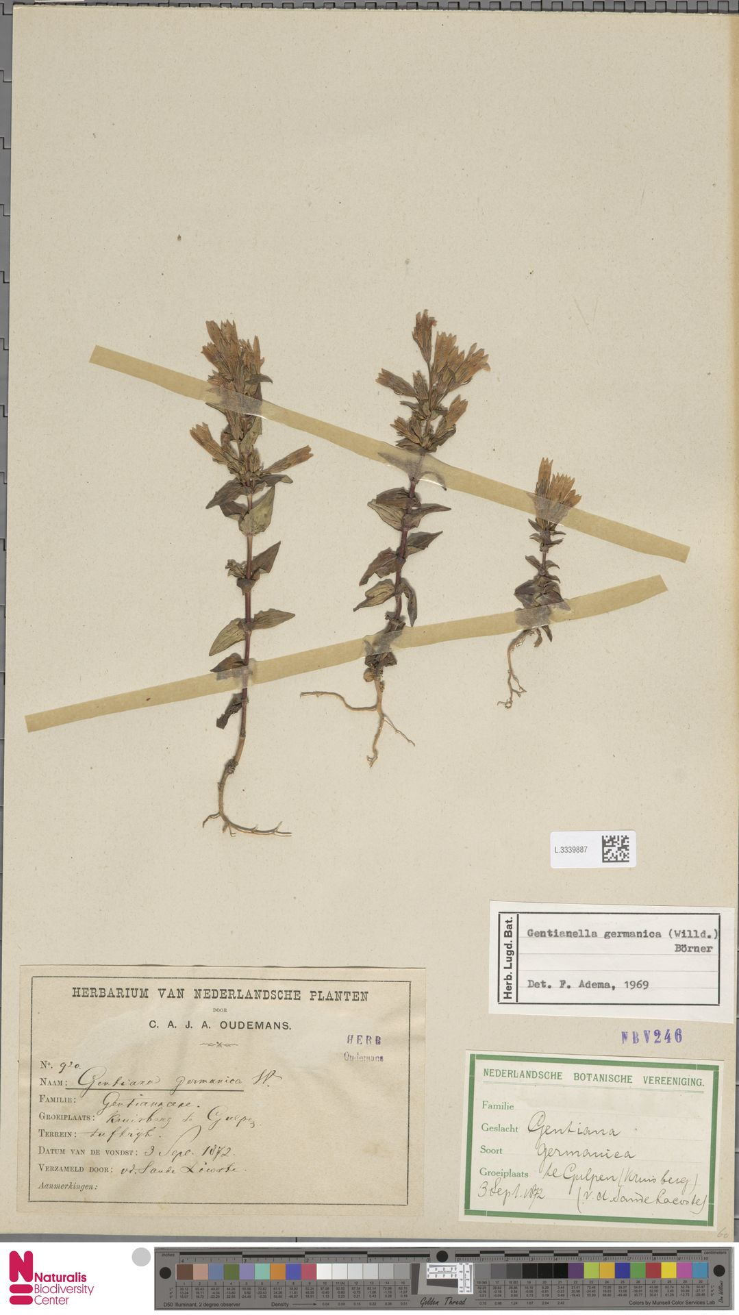 L.3339887 | Gentianella germanica (Willd.) E.F.Warb.