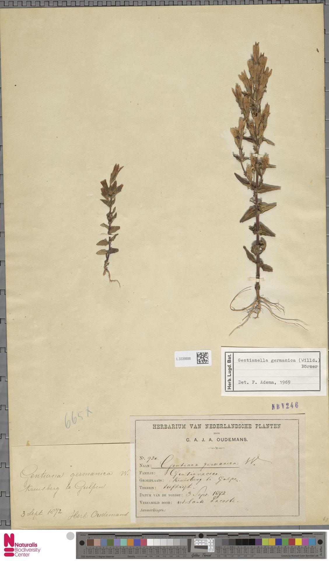L.3339888 | Gentianella germanica (Willd.) E.F.Warb.