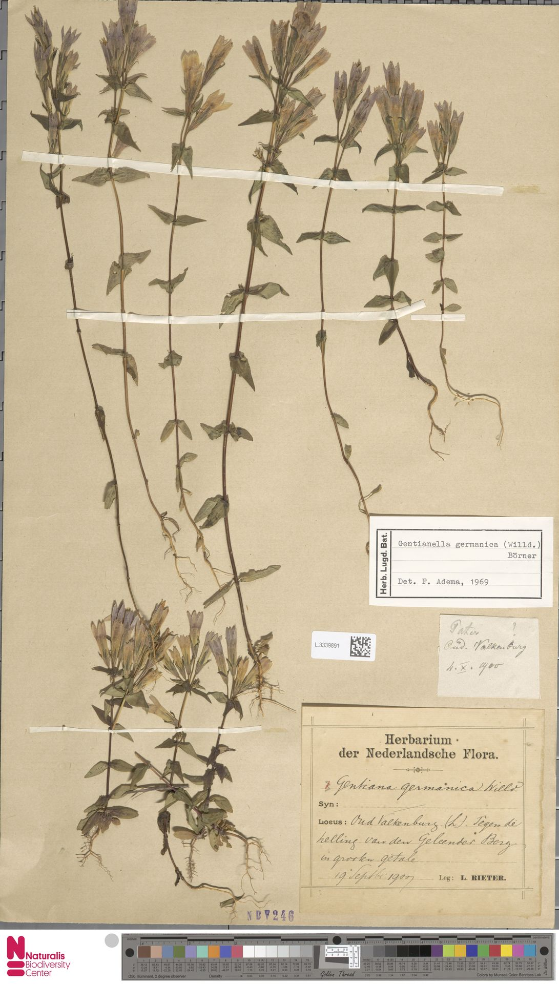 L.3339891 | Gentianella germanica (Willd.) E.F.Warb.