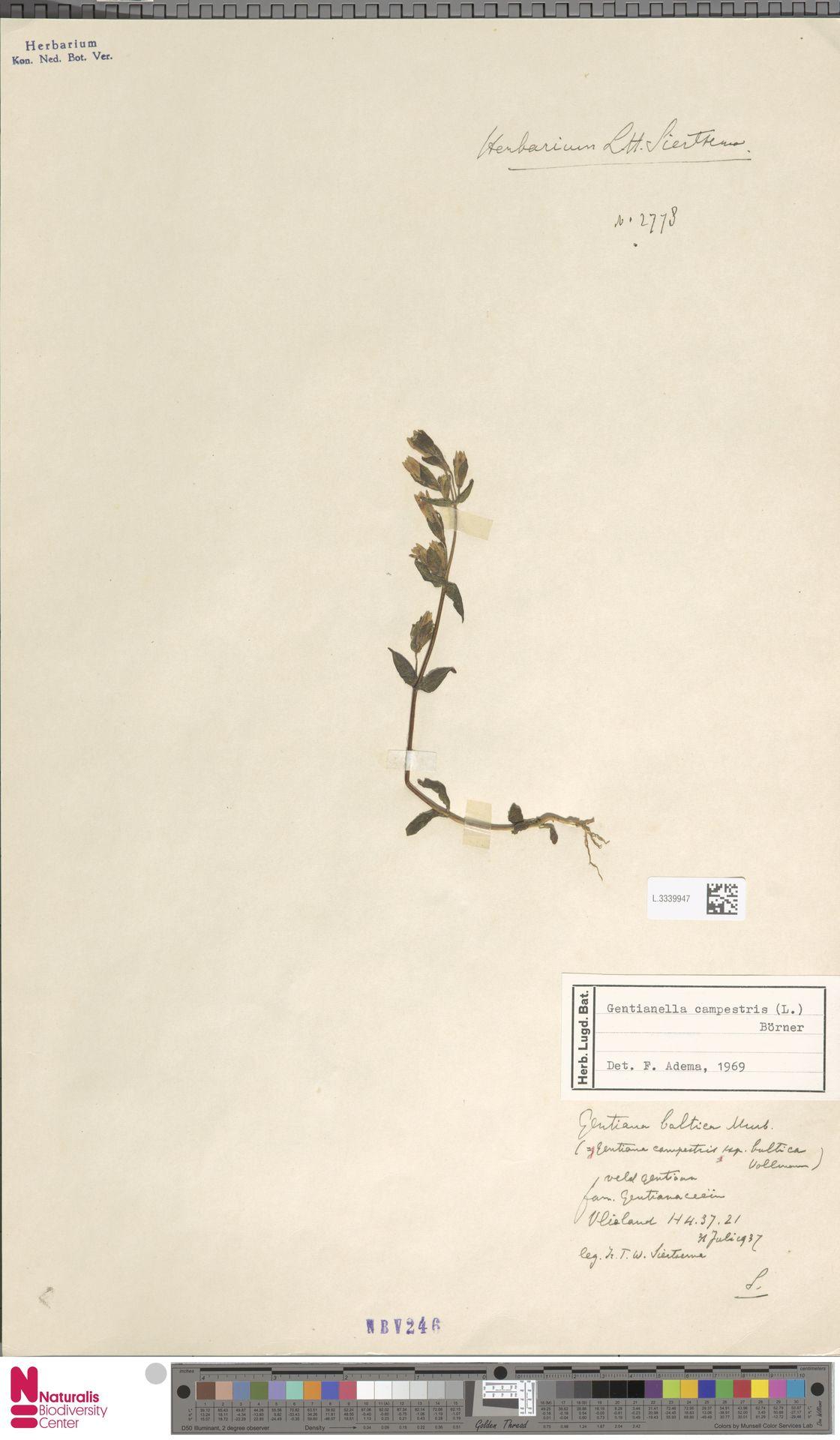L.3339947   Gentianella campestris (L.) Börner