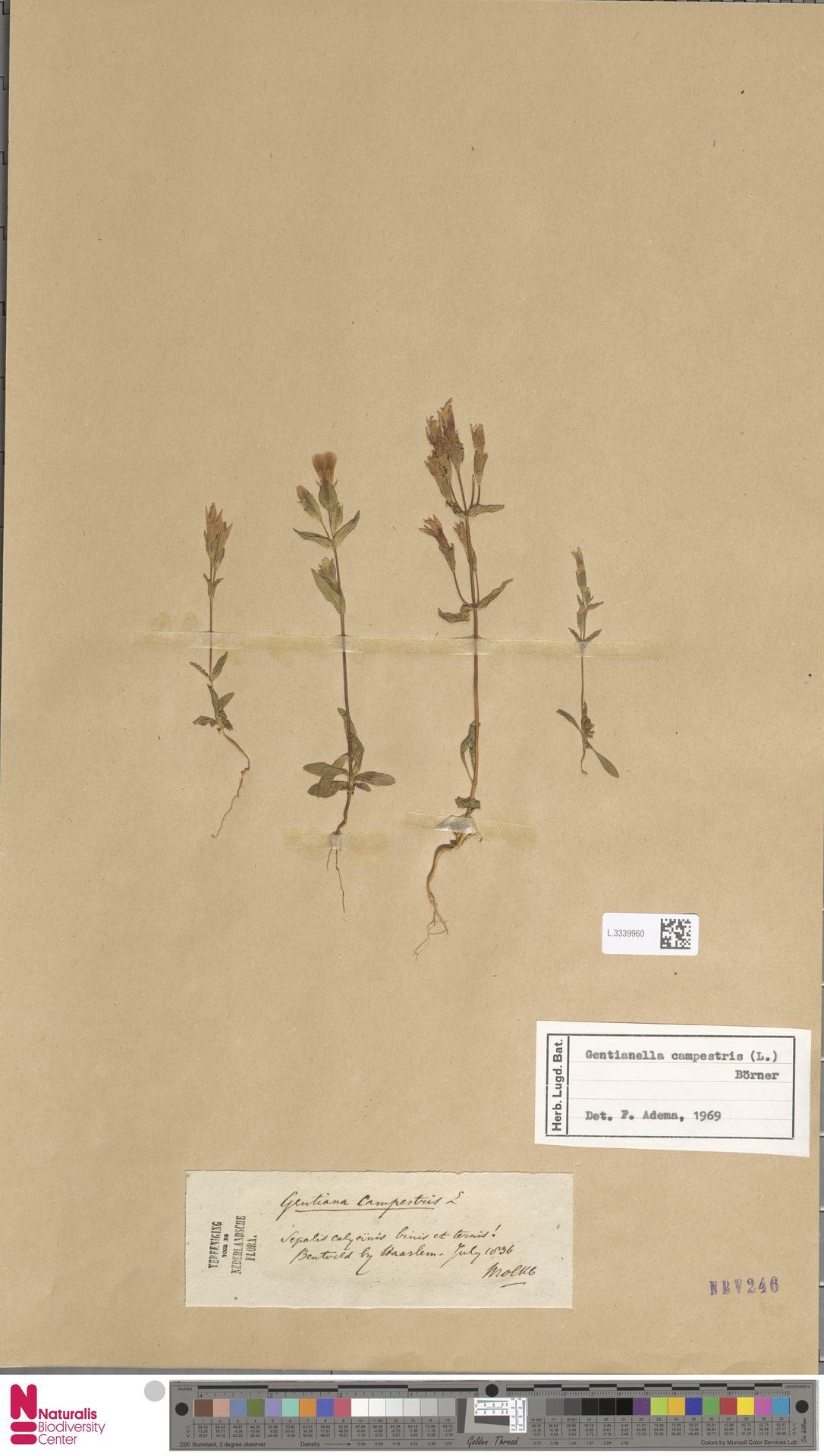 L.3339960 | Gentianella campestris (L.) Börner