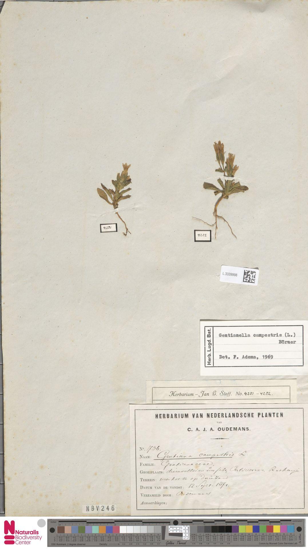 L.3339998 | Gentianella campestris (L.) Börner