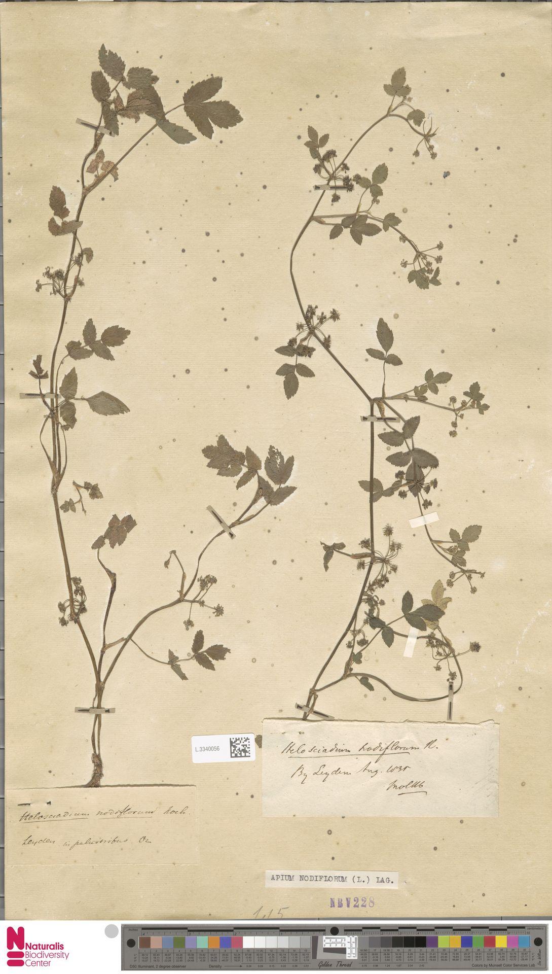 L.3340056 | Apium nodiflorum (L.) Lag.