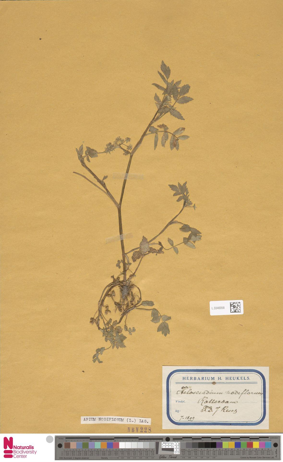 L.3340058   Apium nodiflorum (L.) Lag.