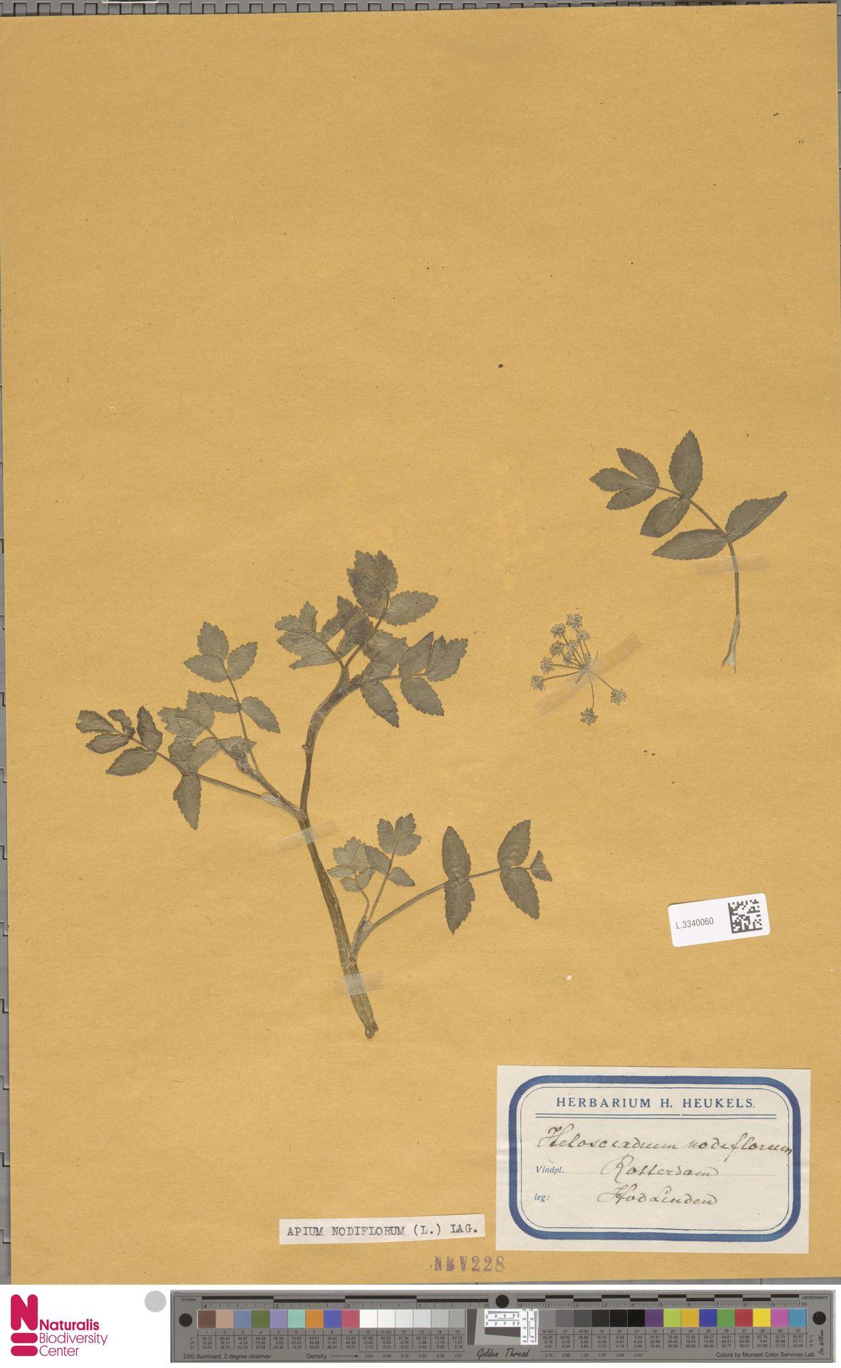 L.3340060 | Apium nodiflorum (L.) Lag.