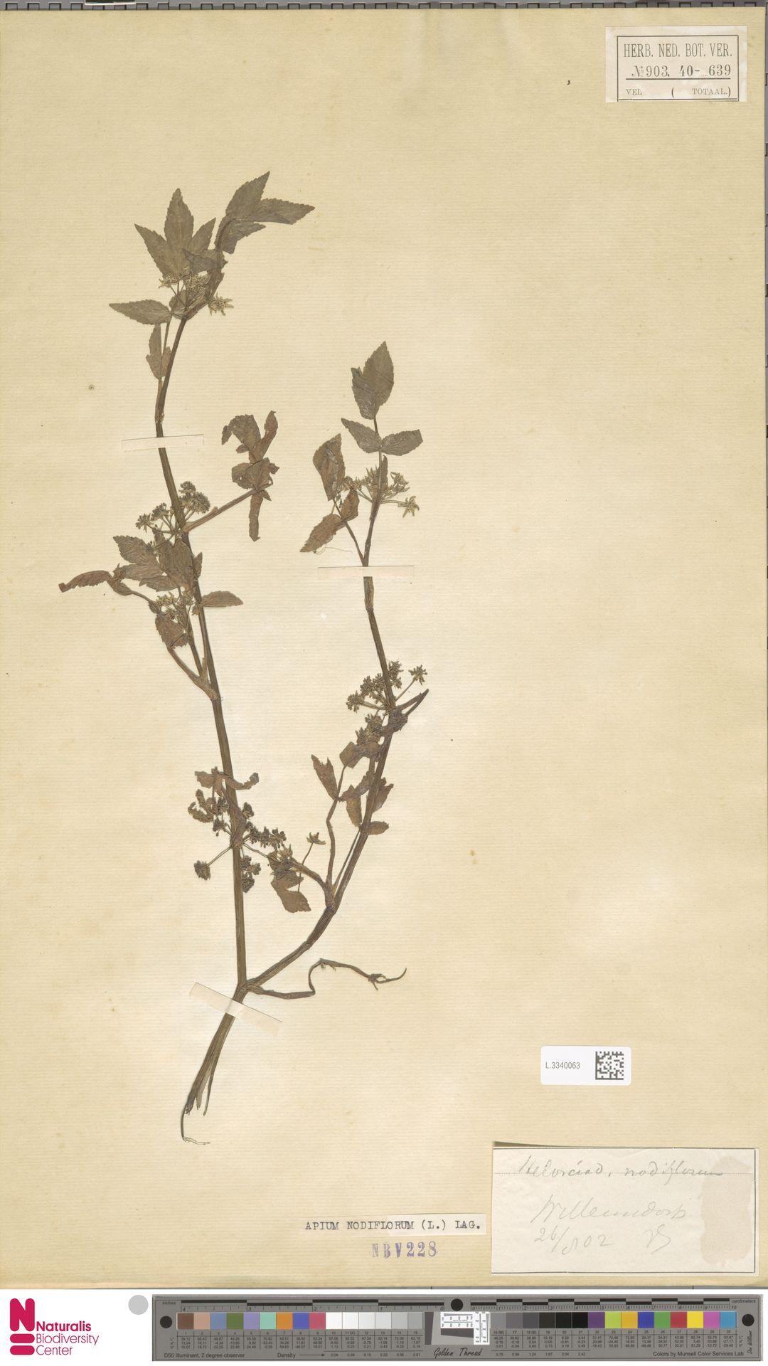 L.3340063 | Apium nodiflorum (L.) Lag.