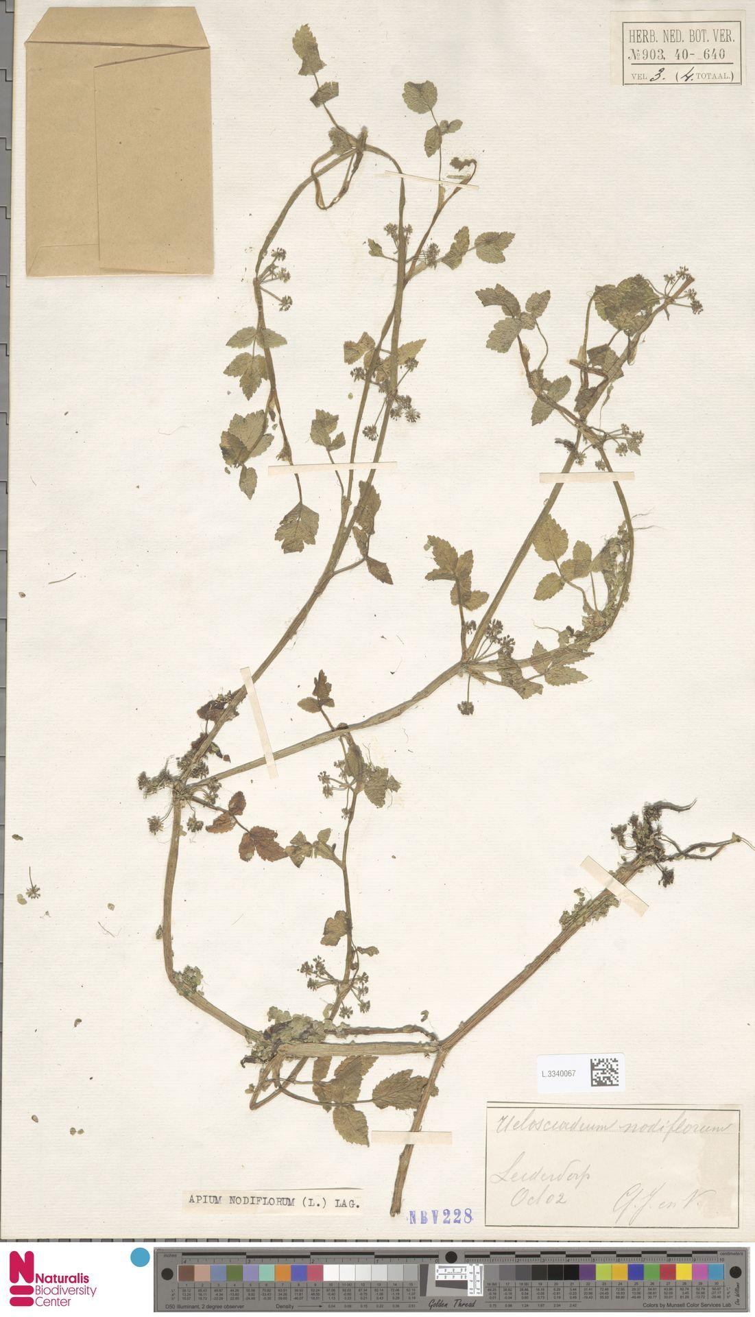 L.3340067 | Apium nodiflorum (L.) Lag.