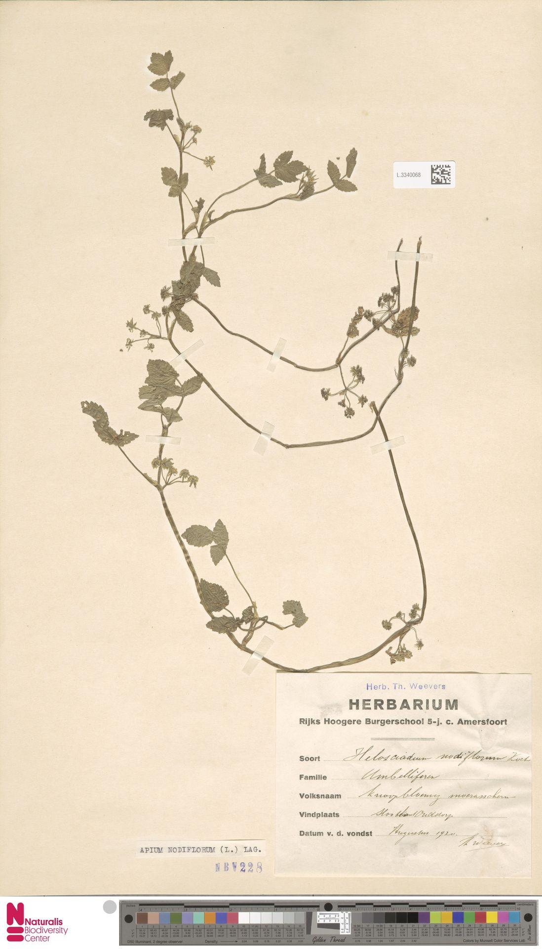 L.3340068   Apium nodiflorum (L.) Lag.