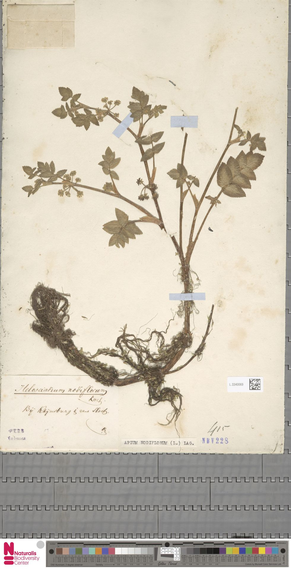 L.3340069 | Apium nodiflorum (L.) Lag.