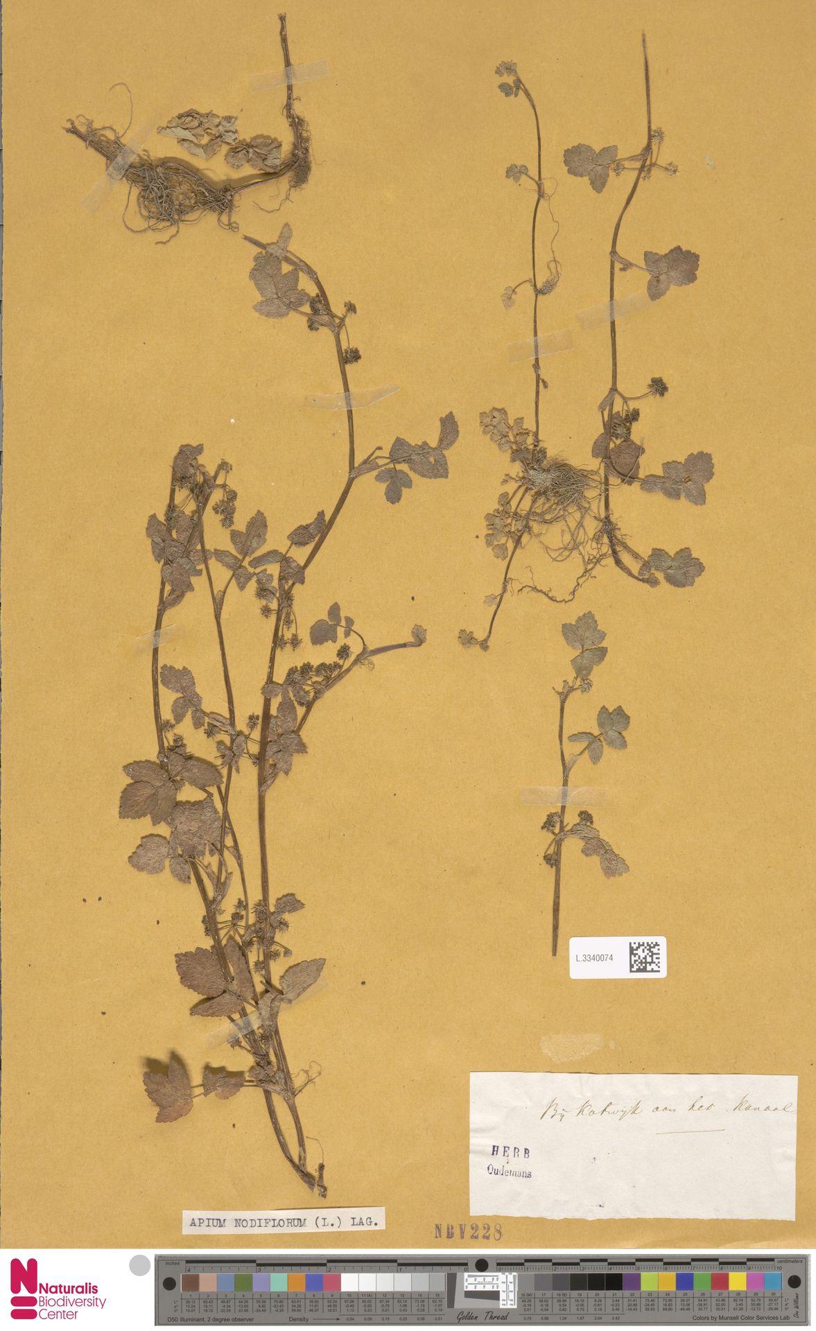 L.3340074 | Apium nodiflorum (L.) Lag.