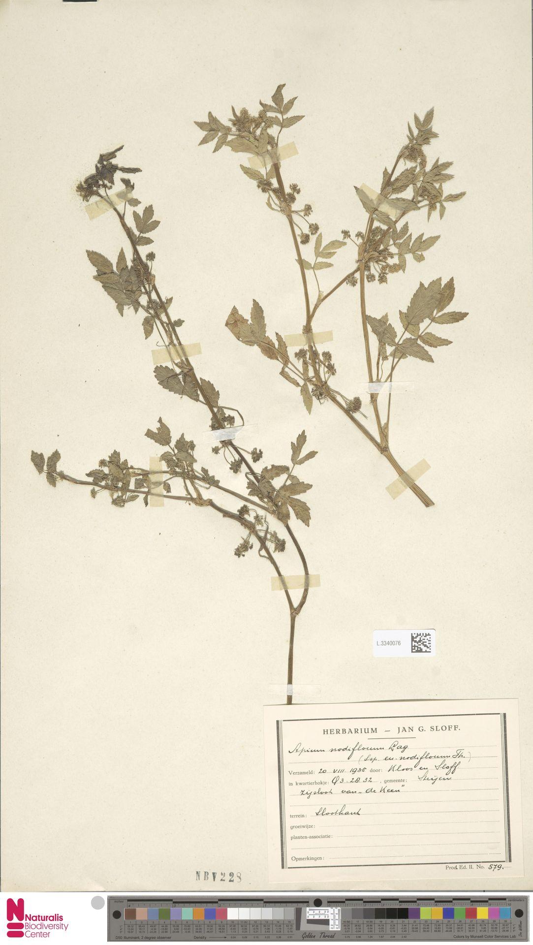 L.3340076   Apium nodiflorum (L.) Lag.