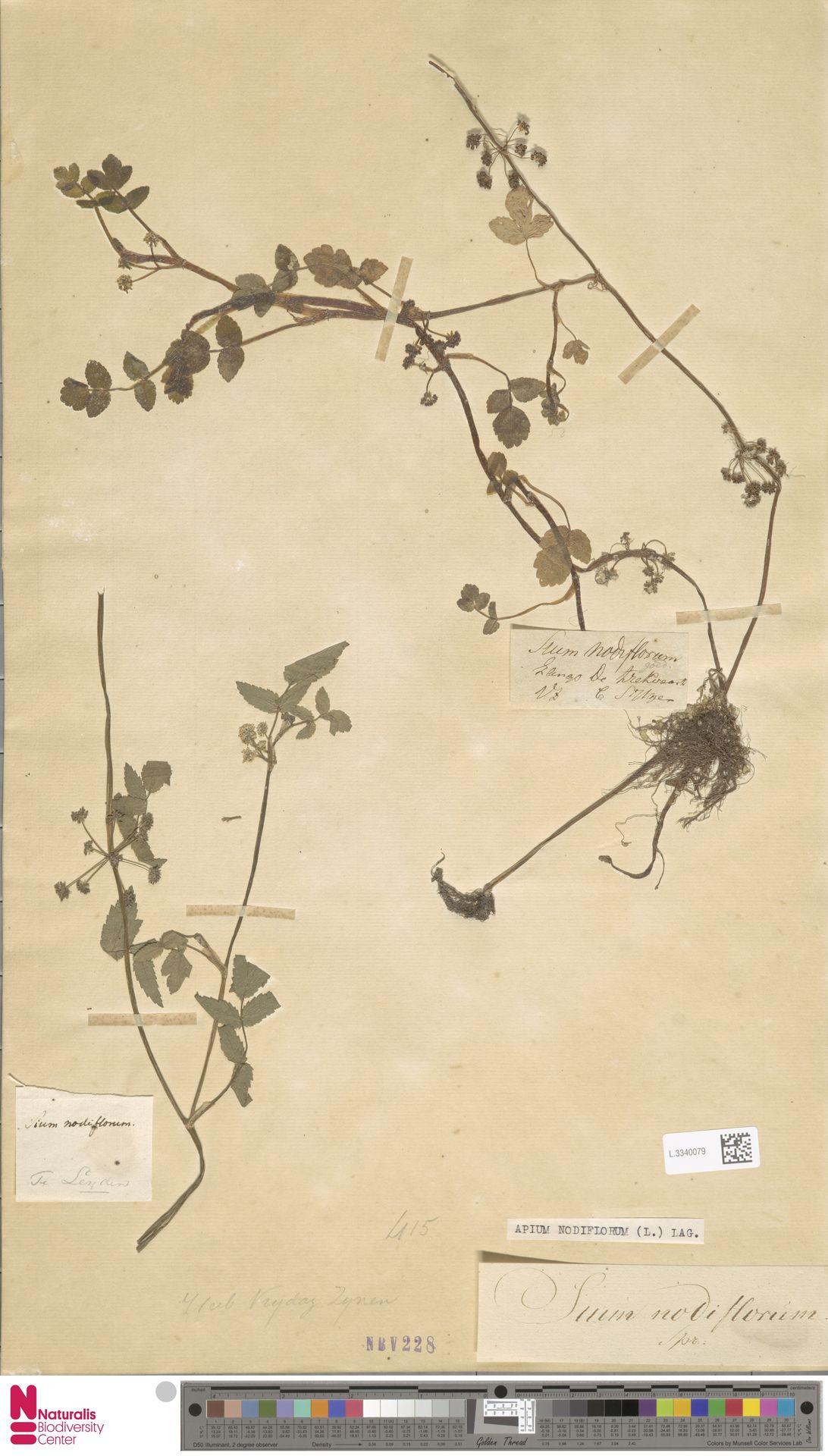 L.3340079 | Apium nodiflorum (L.) Lag.