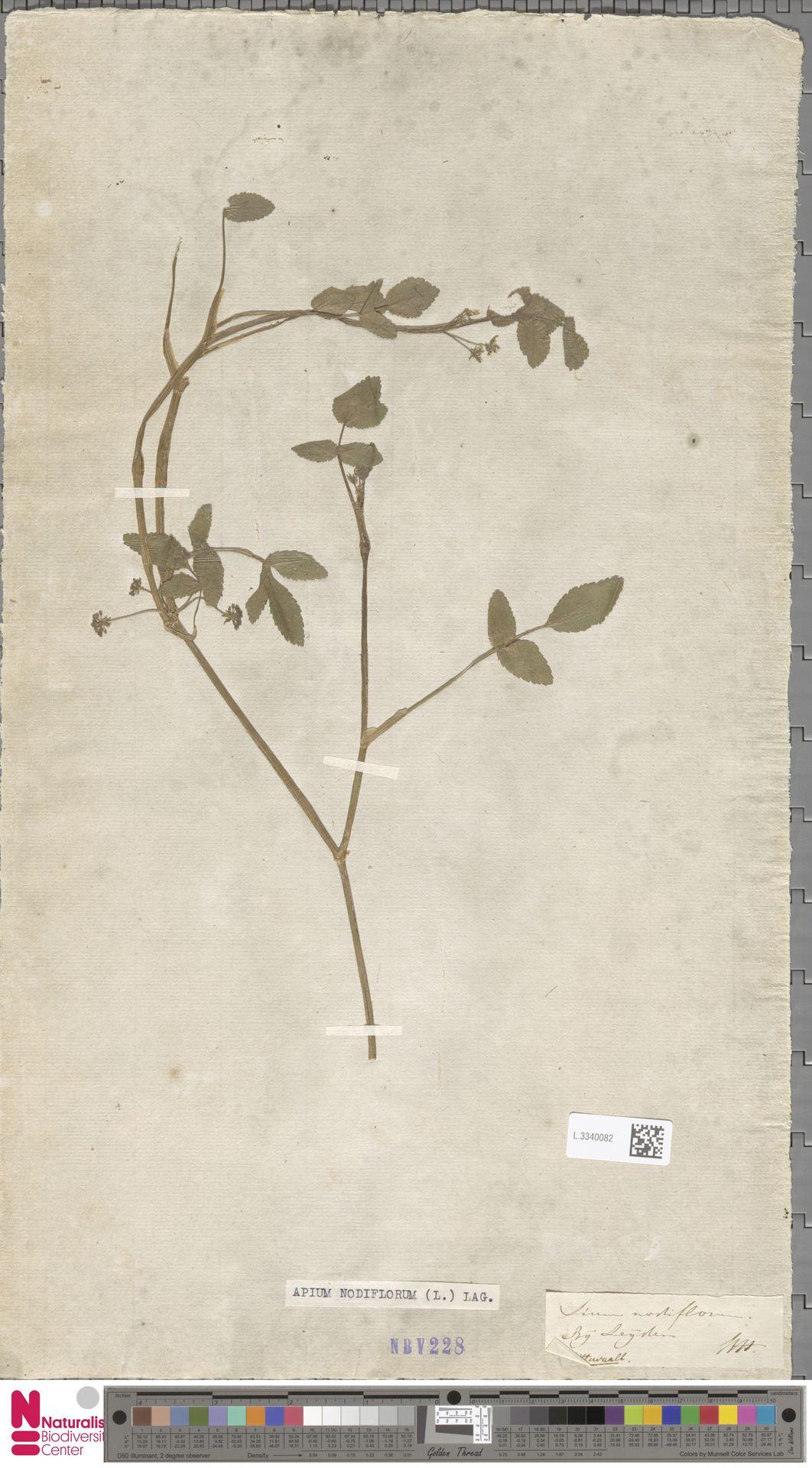 L.3340082 | Apium nodiflorum (L.) Lag.