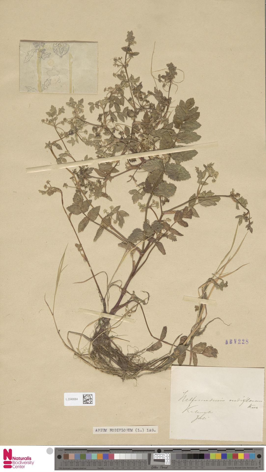L.3340084 | Apium nodiflorum (L.) Lag.