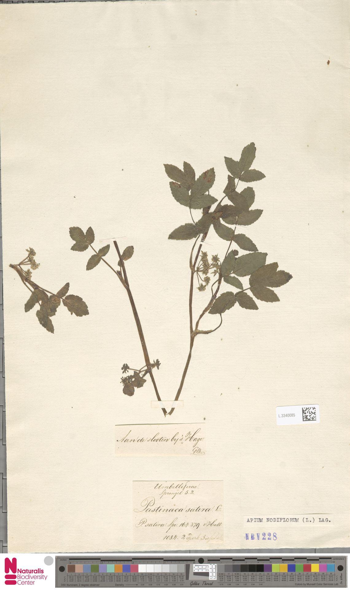 L.3340085 | Apium nodiflorum (L.) Lag.