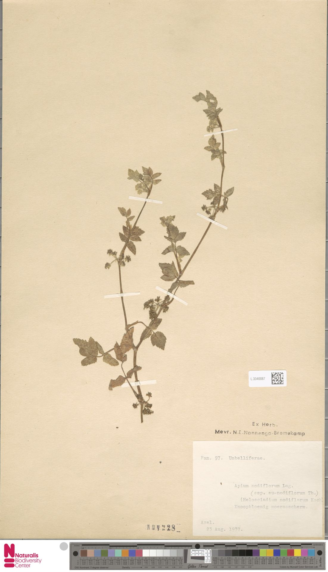L.3340087 | Apium nodiflorum (L.) Lag.