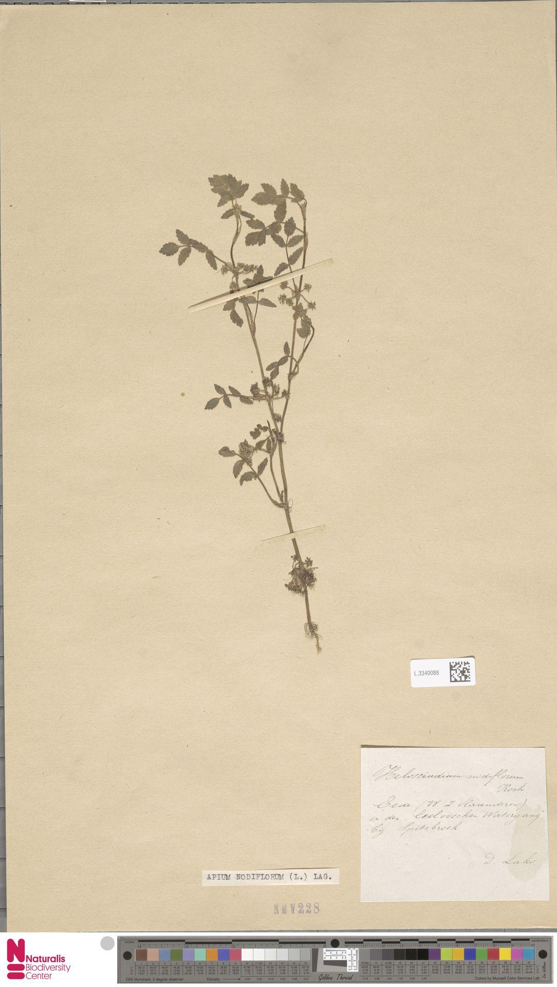 L.3340088 | Apium nodiflorum (L.) Lag.