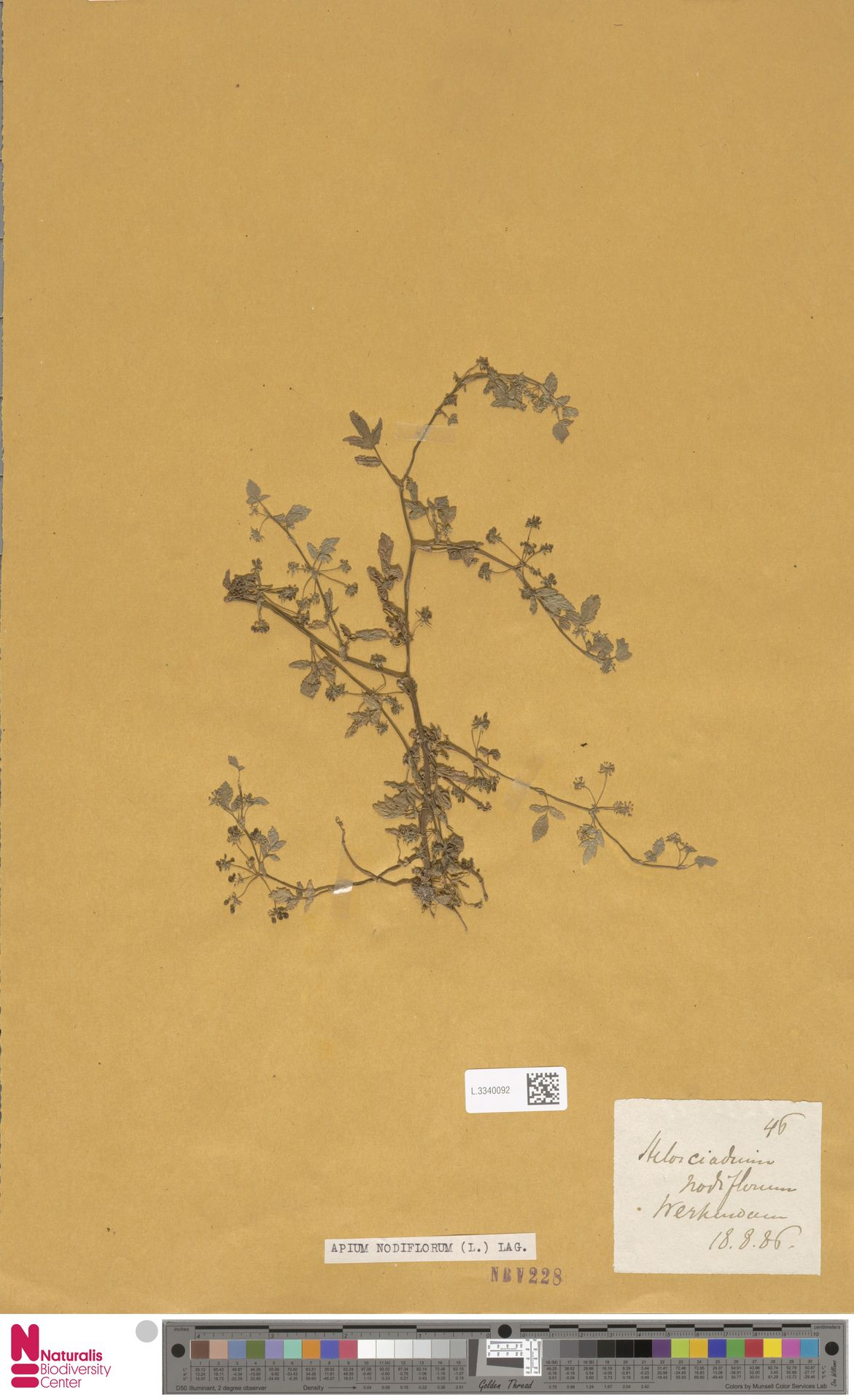 L.3340092   Apium nodiflorum (L.) Lag.