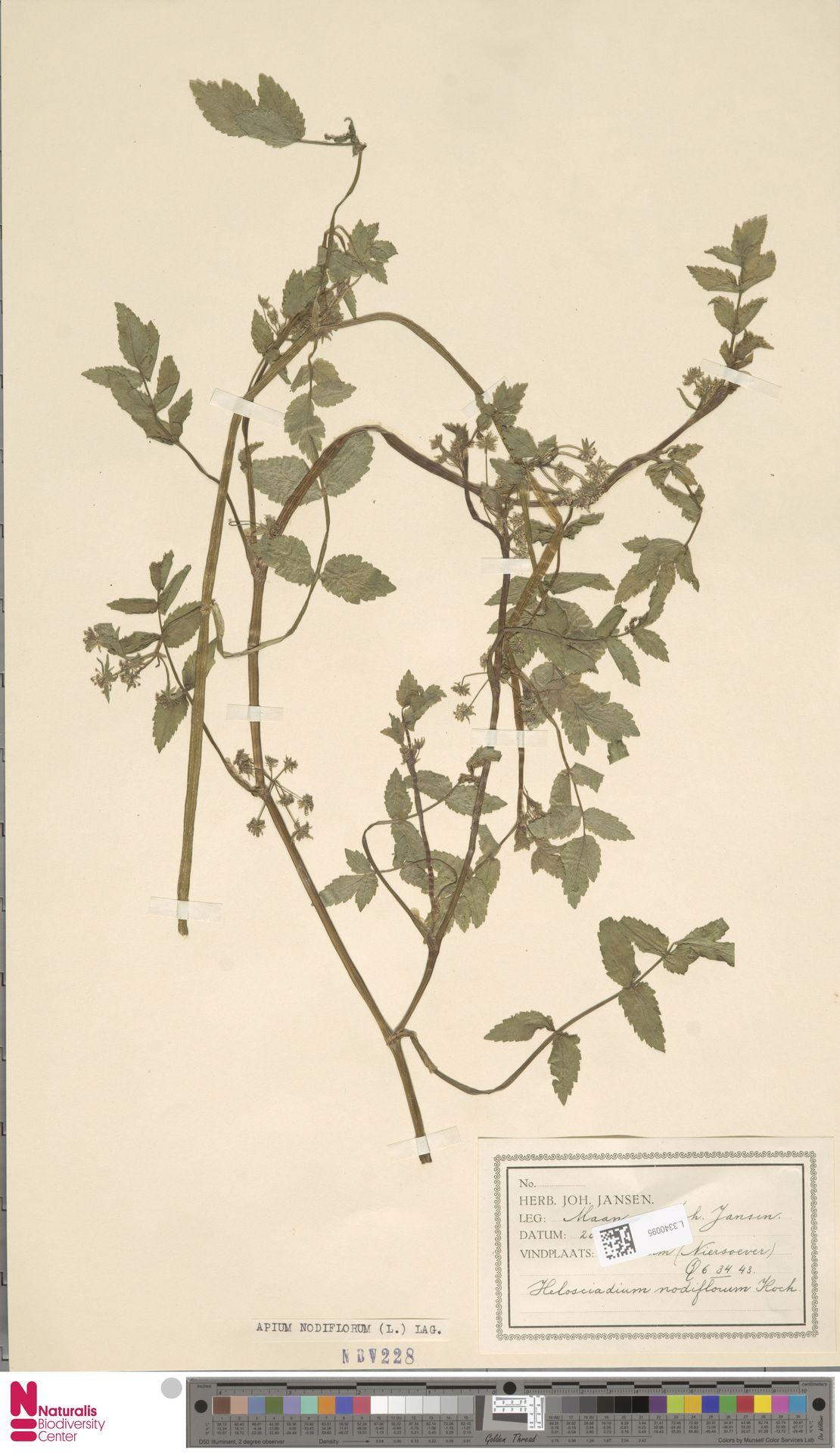 L.3340095 | Apium nodiflorum (L.) Lag.