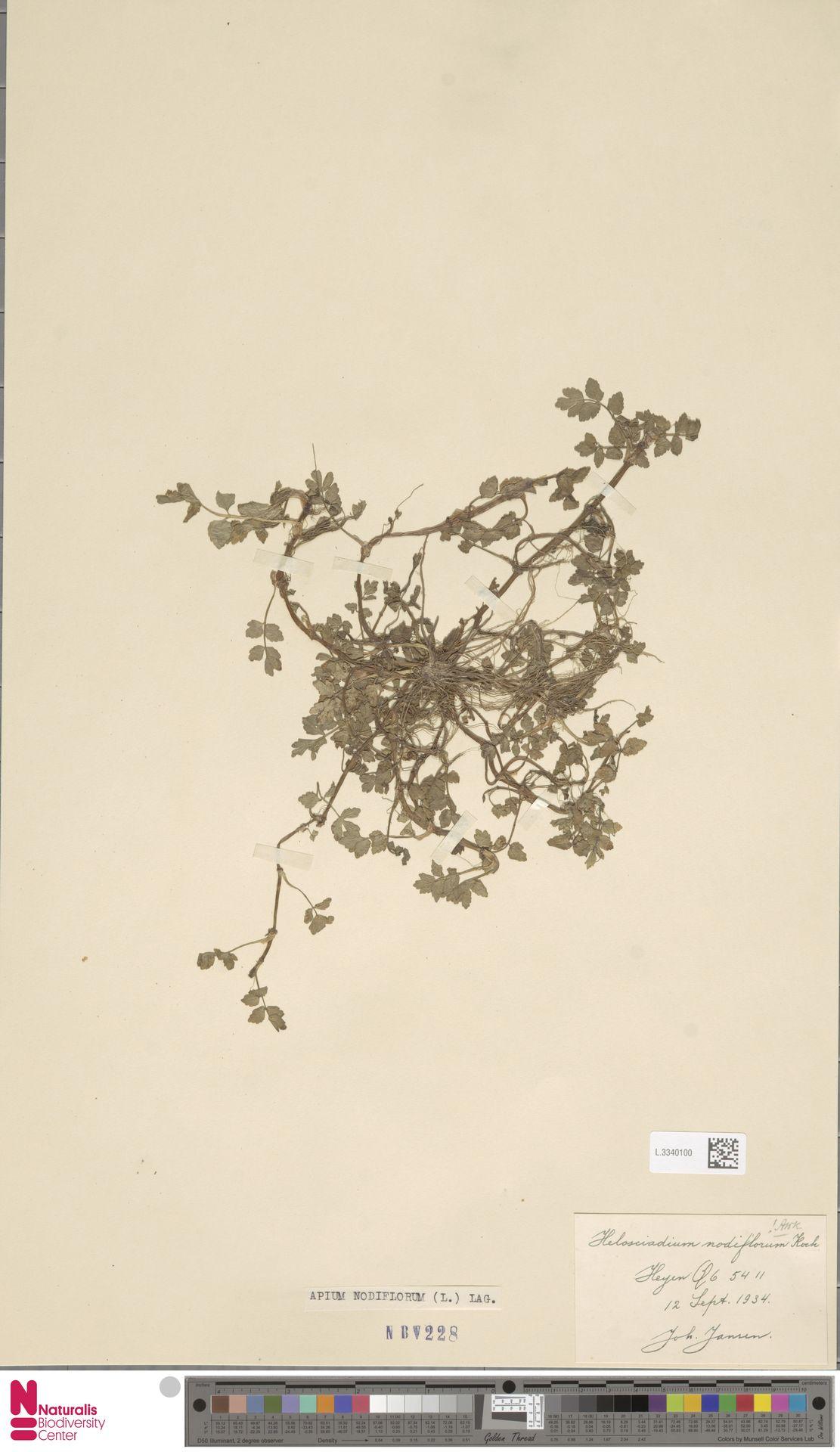 L.3340100 | Apium nodiflorum (L.) Lag.