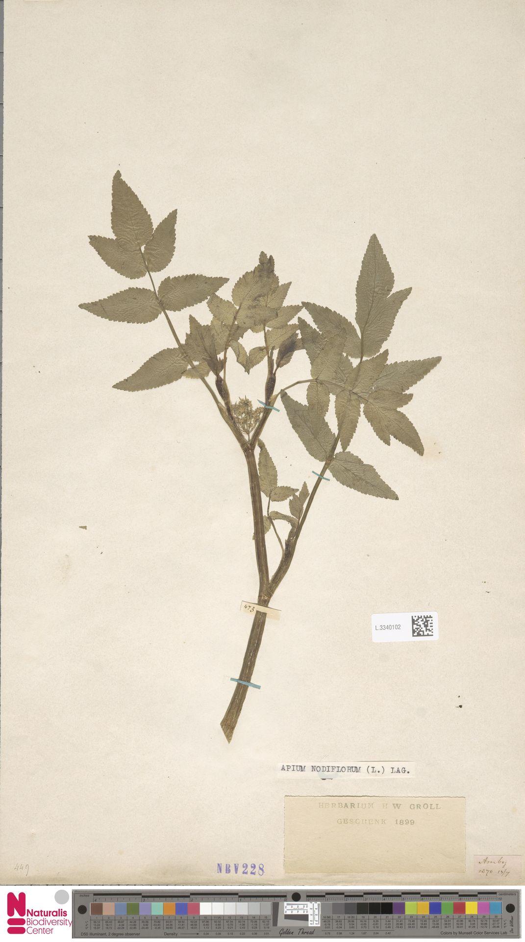 L.3340102 | Apium nodiflorum (L.) Lag.
