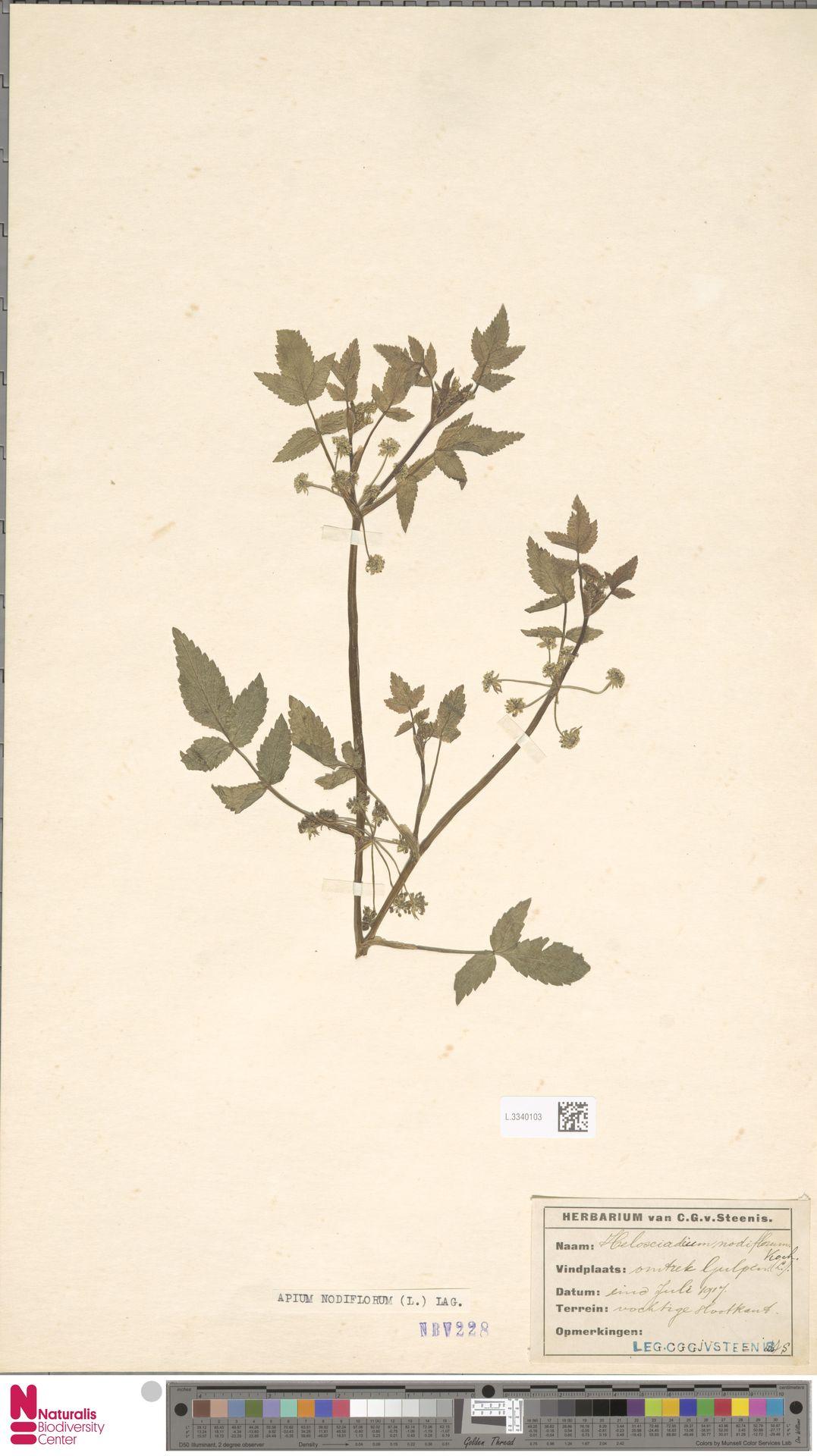 L.3340103   Apium nodiflorum (L.) Lag.