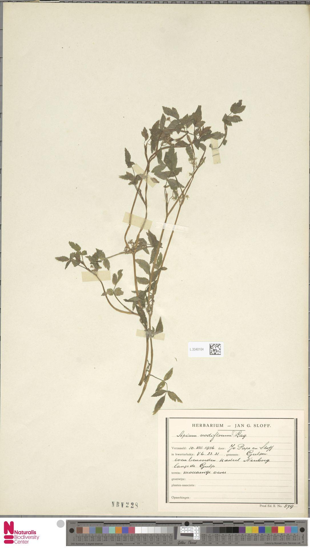 L.3340104 | Apium nodiflorum (L.) Lag.